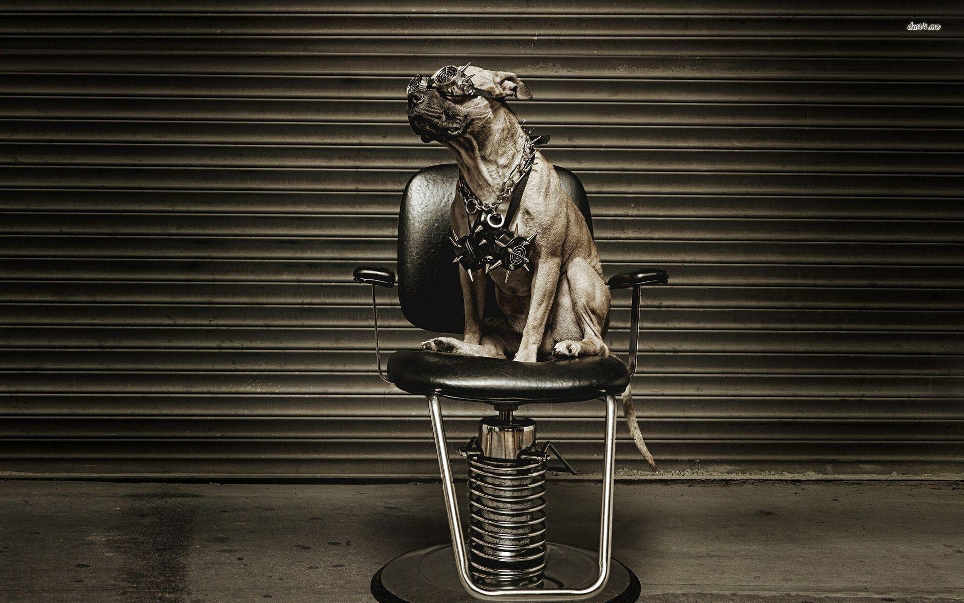HD pics pitbull dogs.
