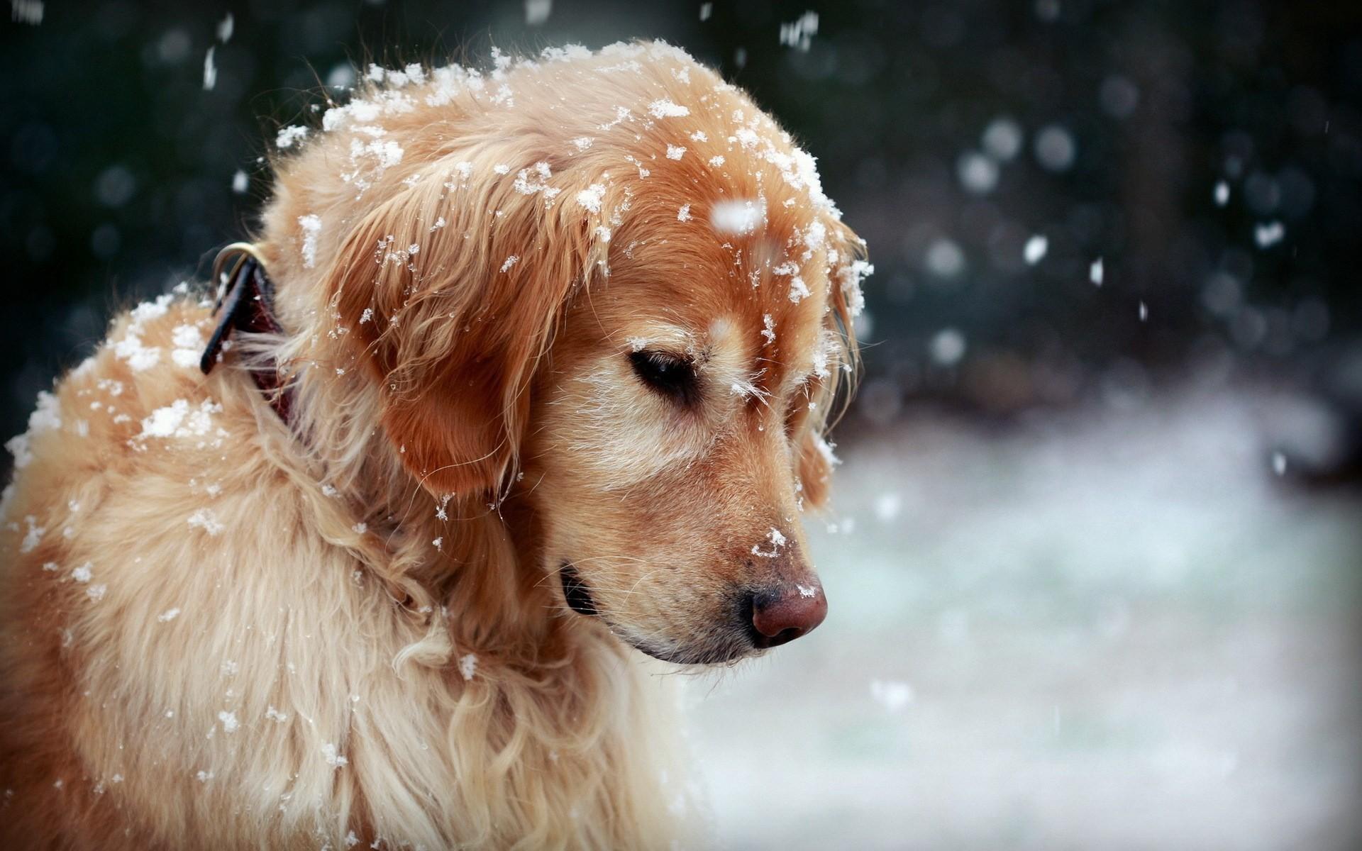 … winter dog snowflakes hd wallpaper dog wallpaper hd free …