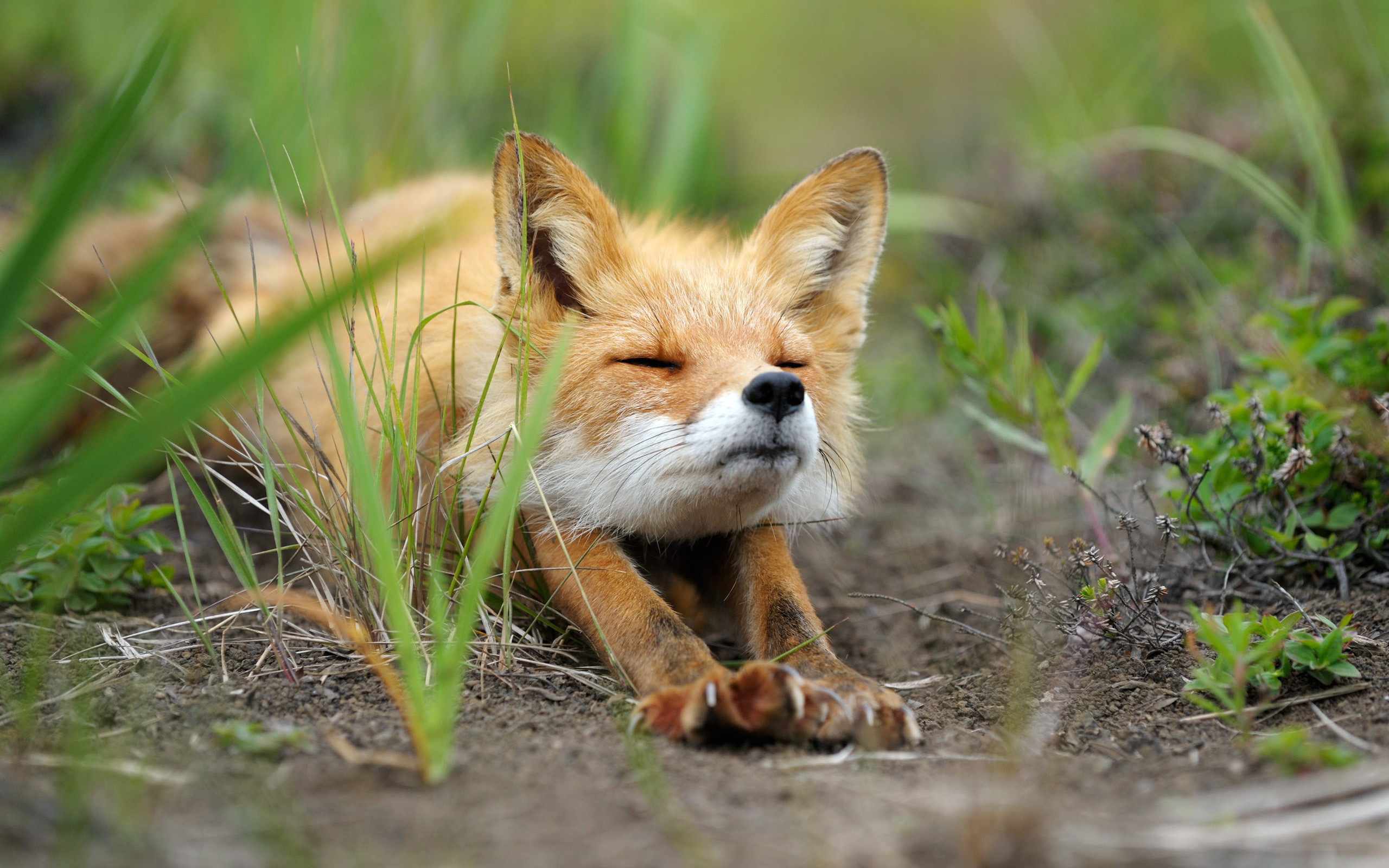 Cute baby fox | Widescreen and Full HD Wallpapers