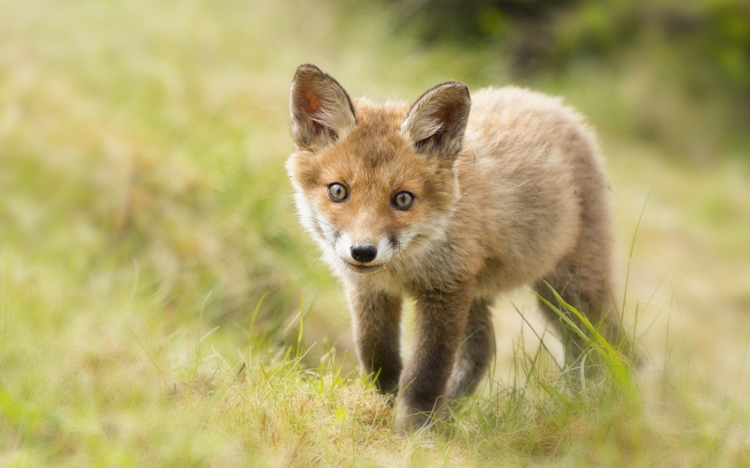 Cute Fox Cub HD Wallpapers