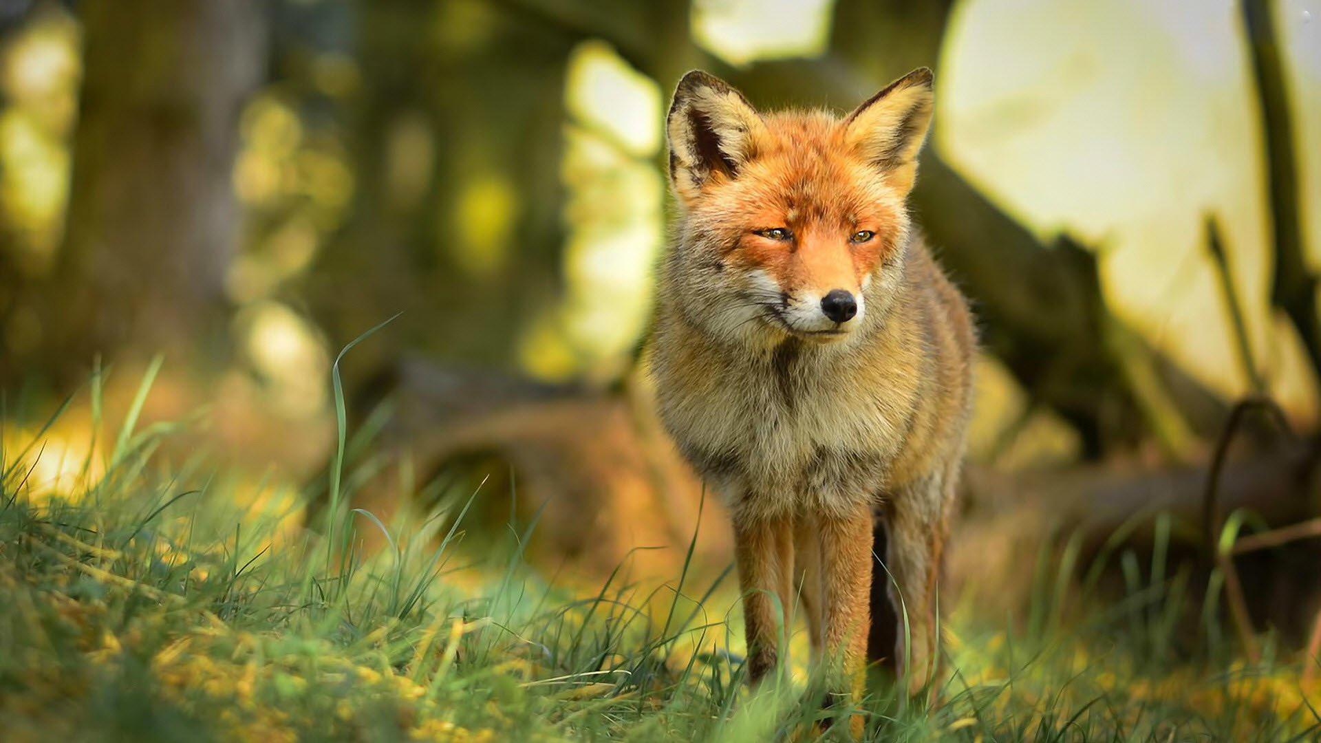 Cute red Fox wallpaper.