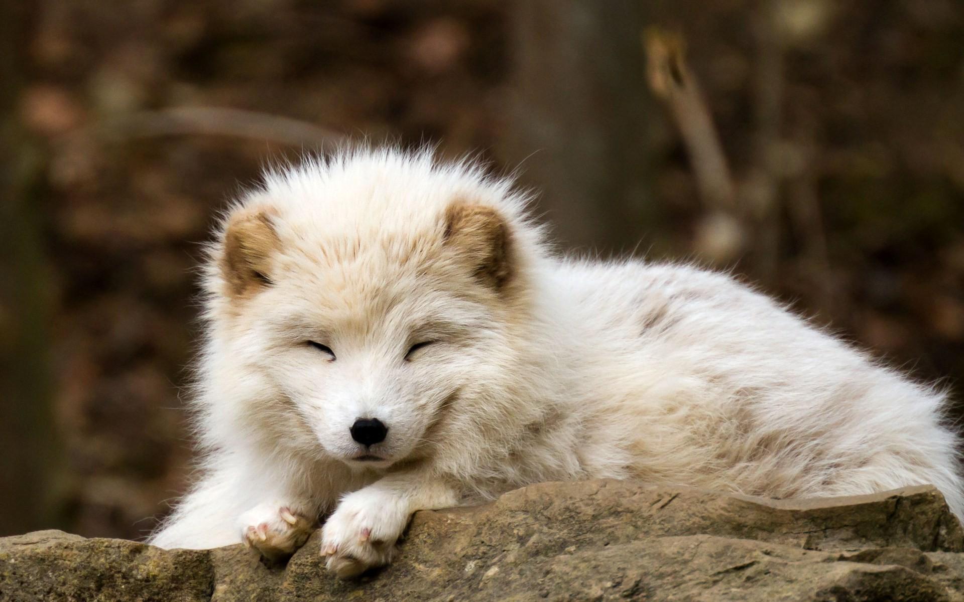 nature, Animals, Baby Animals, Fox, Arctic Fox Wallpapers HD .
