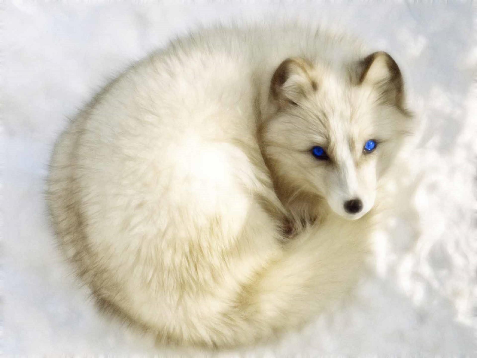 Arctic Fox Wallpapers Wallpaper