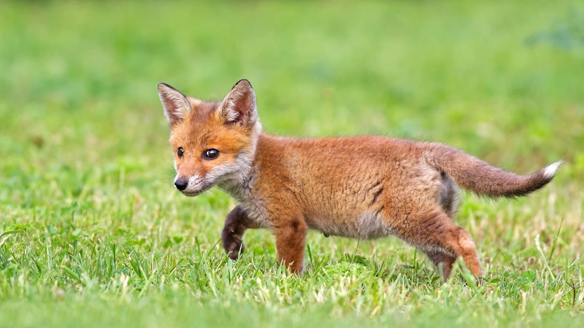 Cute fox cub hd