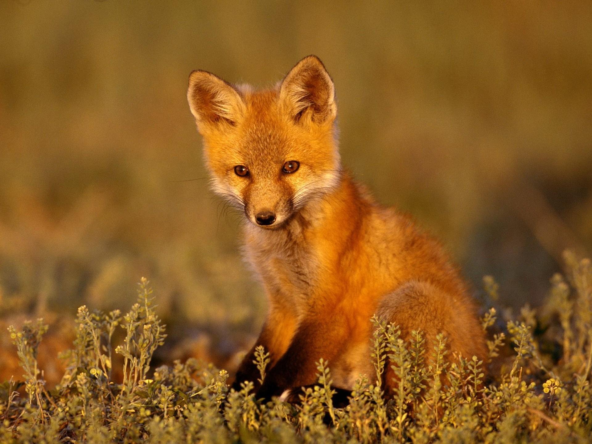 Animals Baby Fox Snegidhi Com pixel) Popular HD Wallpaper ~ iWallScreen
