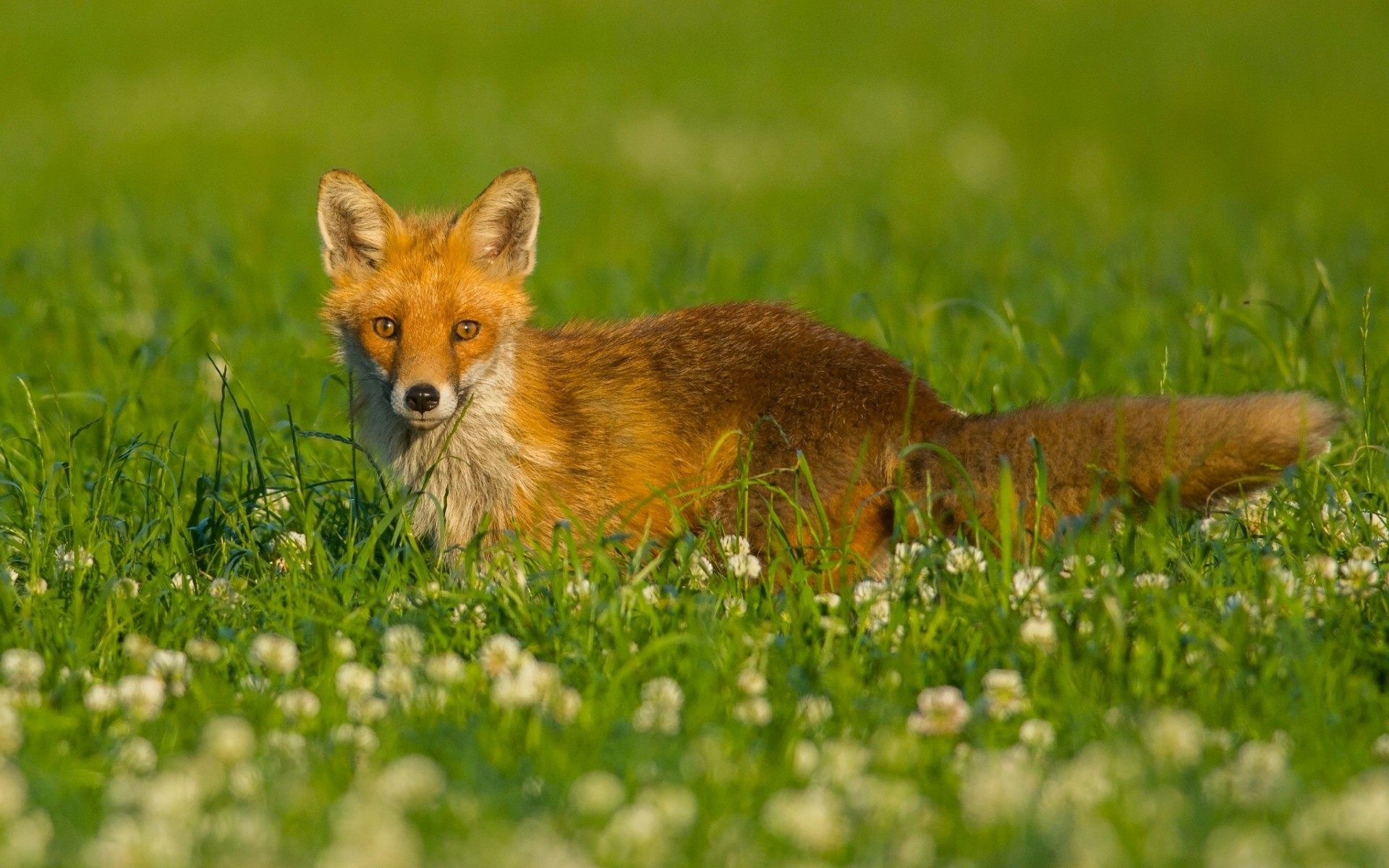 Red Fox Wallpaper Picture