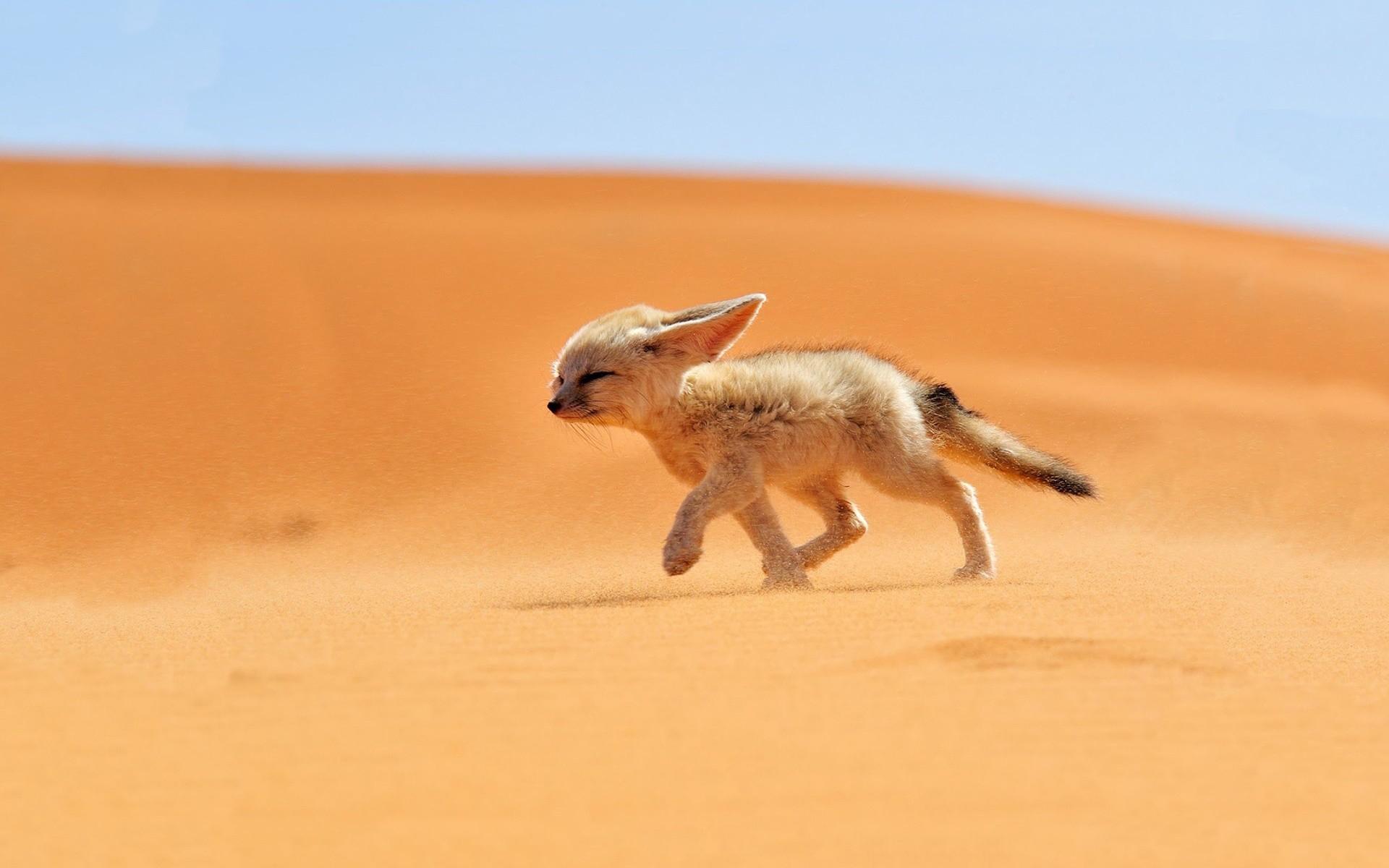 Baby Fox Desert wallpaper amazing Wallpaper high quality, Backgrounds for  mobile, iphone, desktop