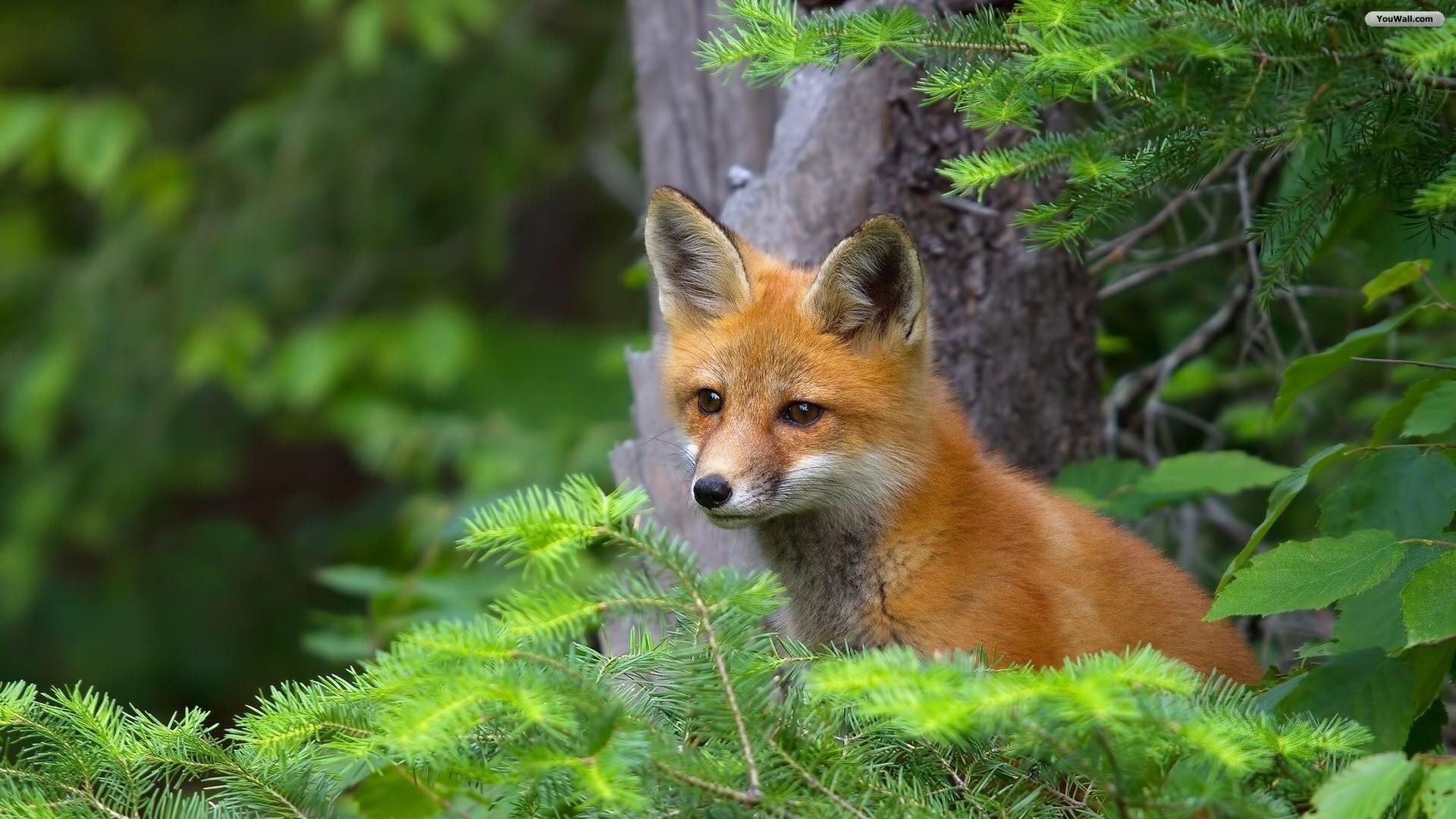 YouWall – Cute Red Fox Wallpaper – wallpaper,wallpapers,free wallpaper .