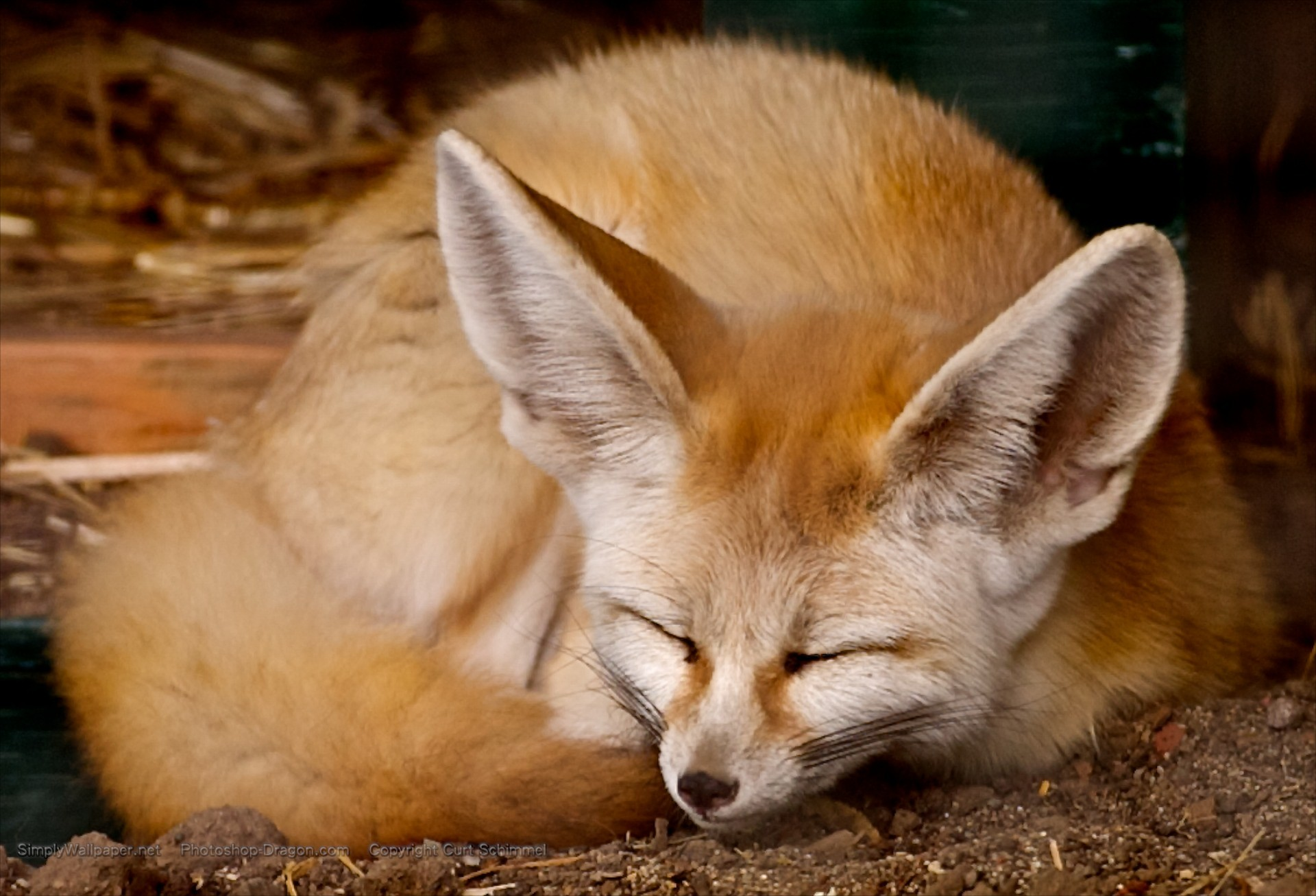 108 best Fennec fox images on Pinterest | Fennec fox, Foxes and Animals