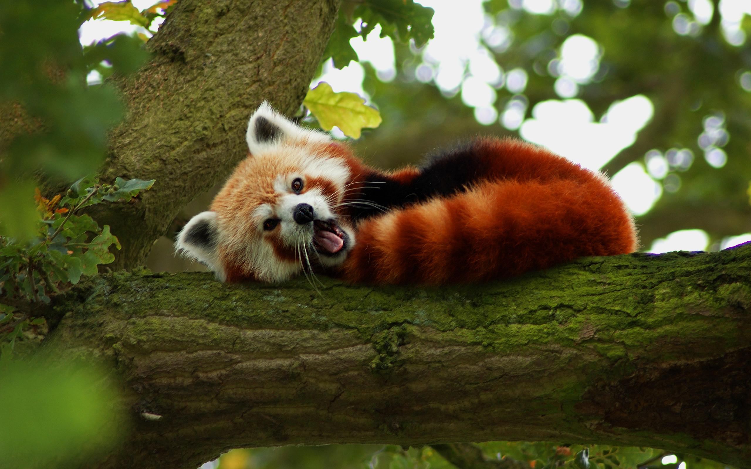 Animal Red Panda Wallpaper · Wild AnimalsBaby AnimalsCute …