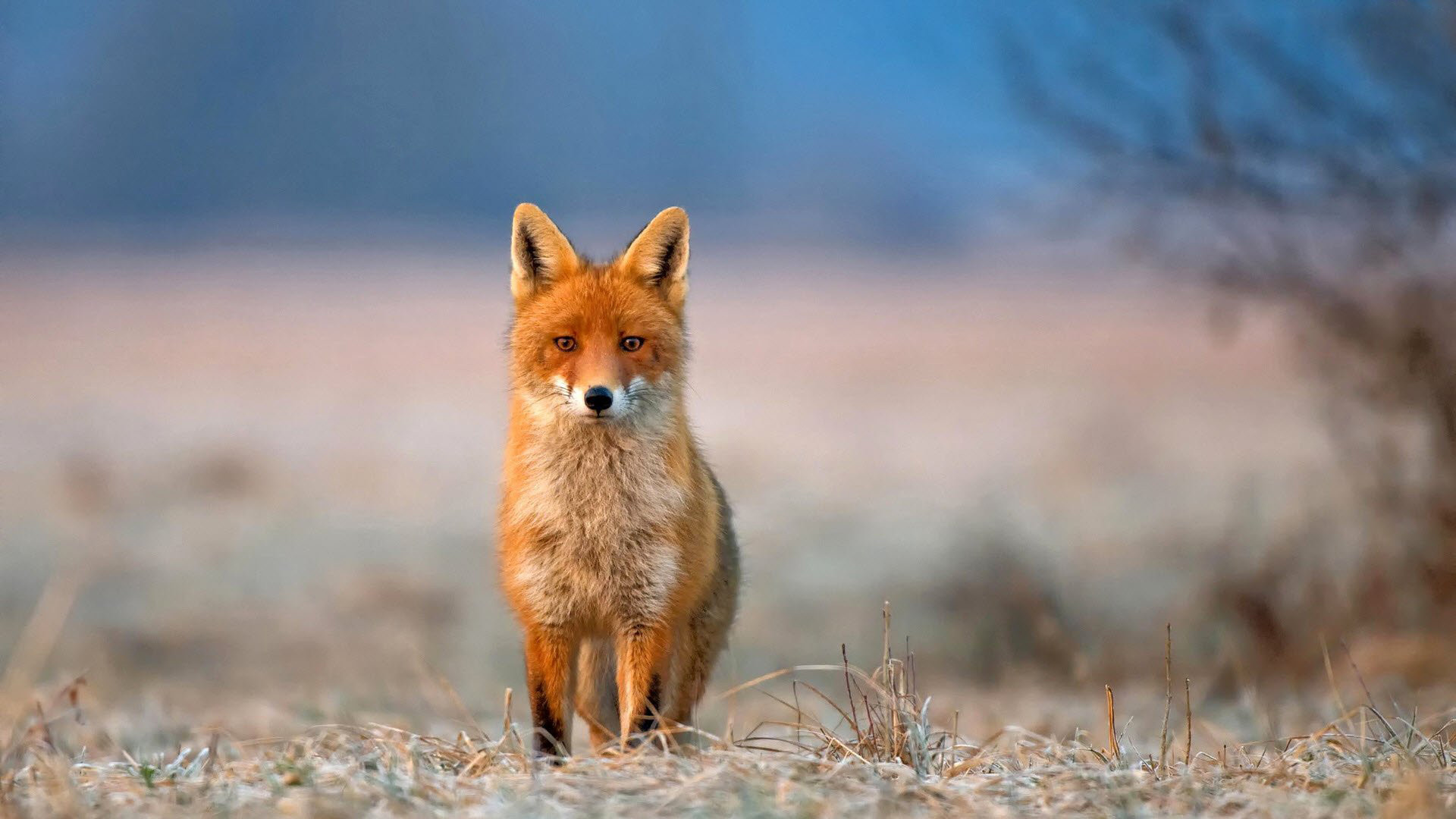 Red Fox Wallpapers Phone with HD Wallpaper Resolution px 486.98  KB Animals White Iphone Racing