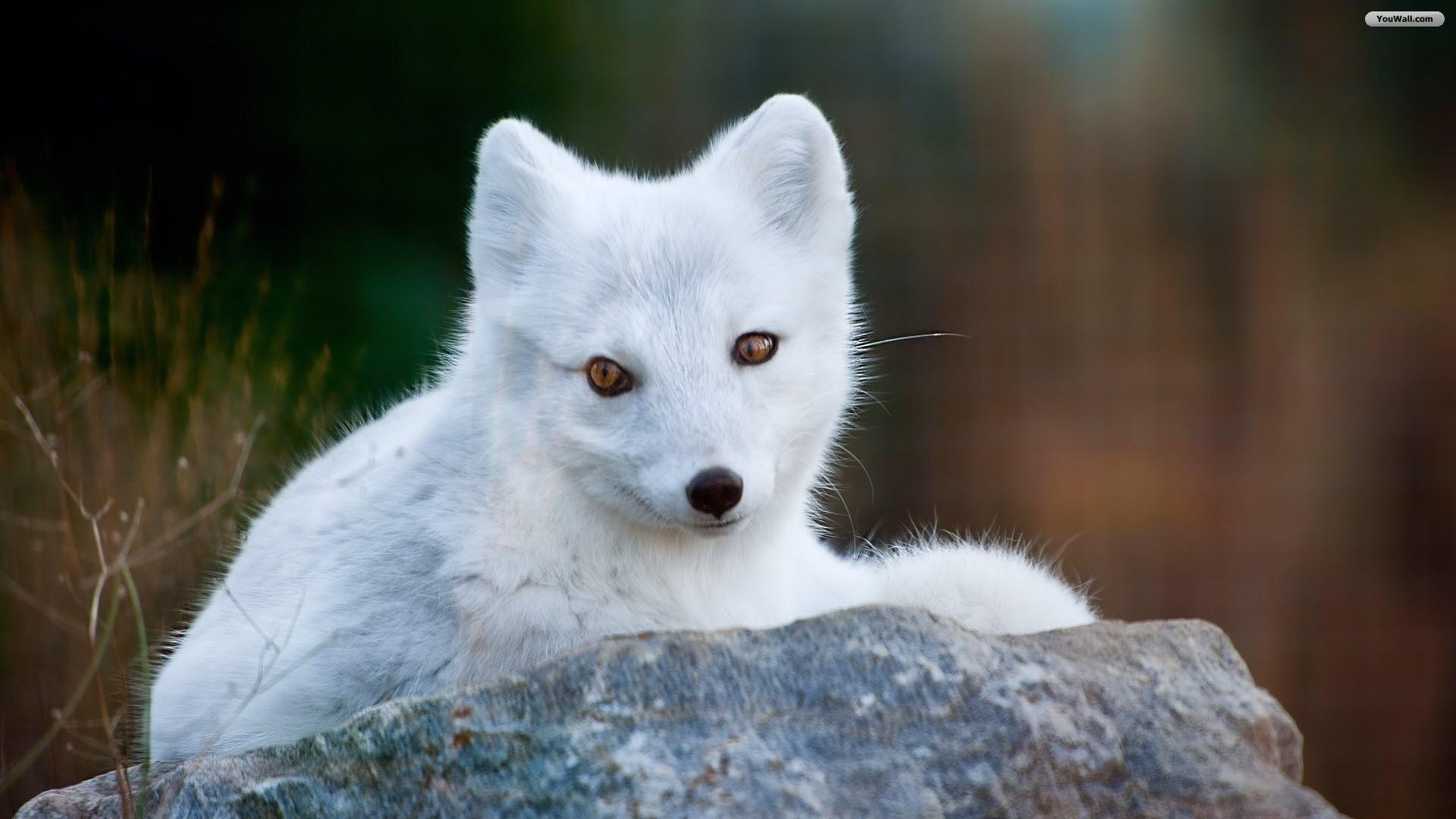 Cute White Fox Wallpaper