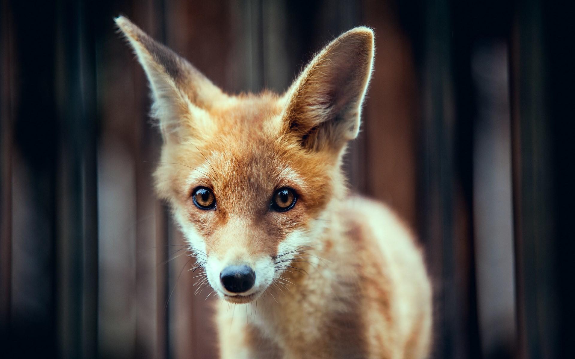 fox wallpaper. Â«Â«