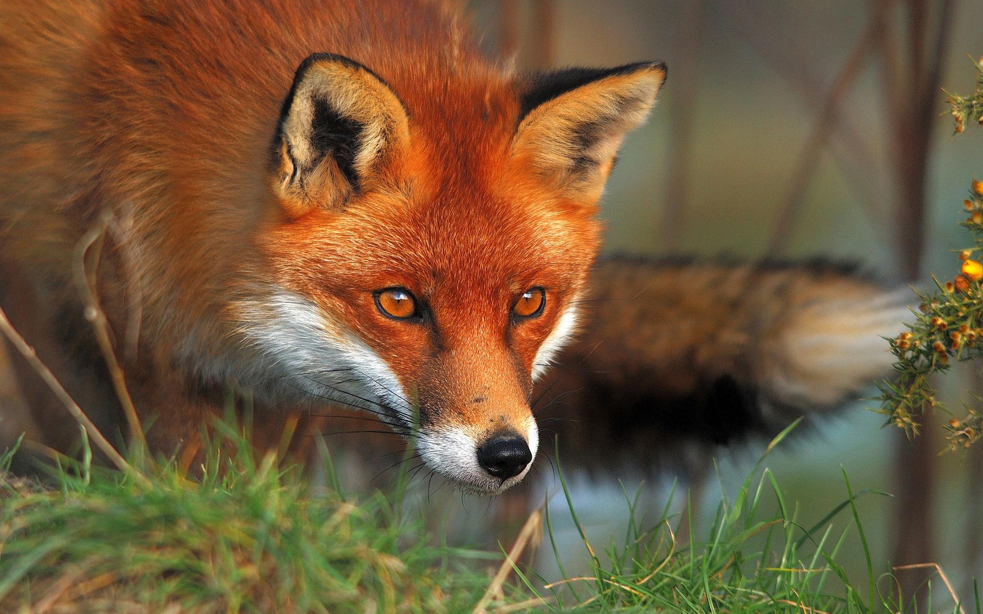 Red Fox Wallpaper HD 46023 px ~ HDWallSource.com
