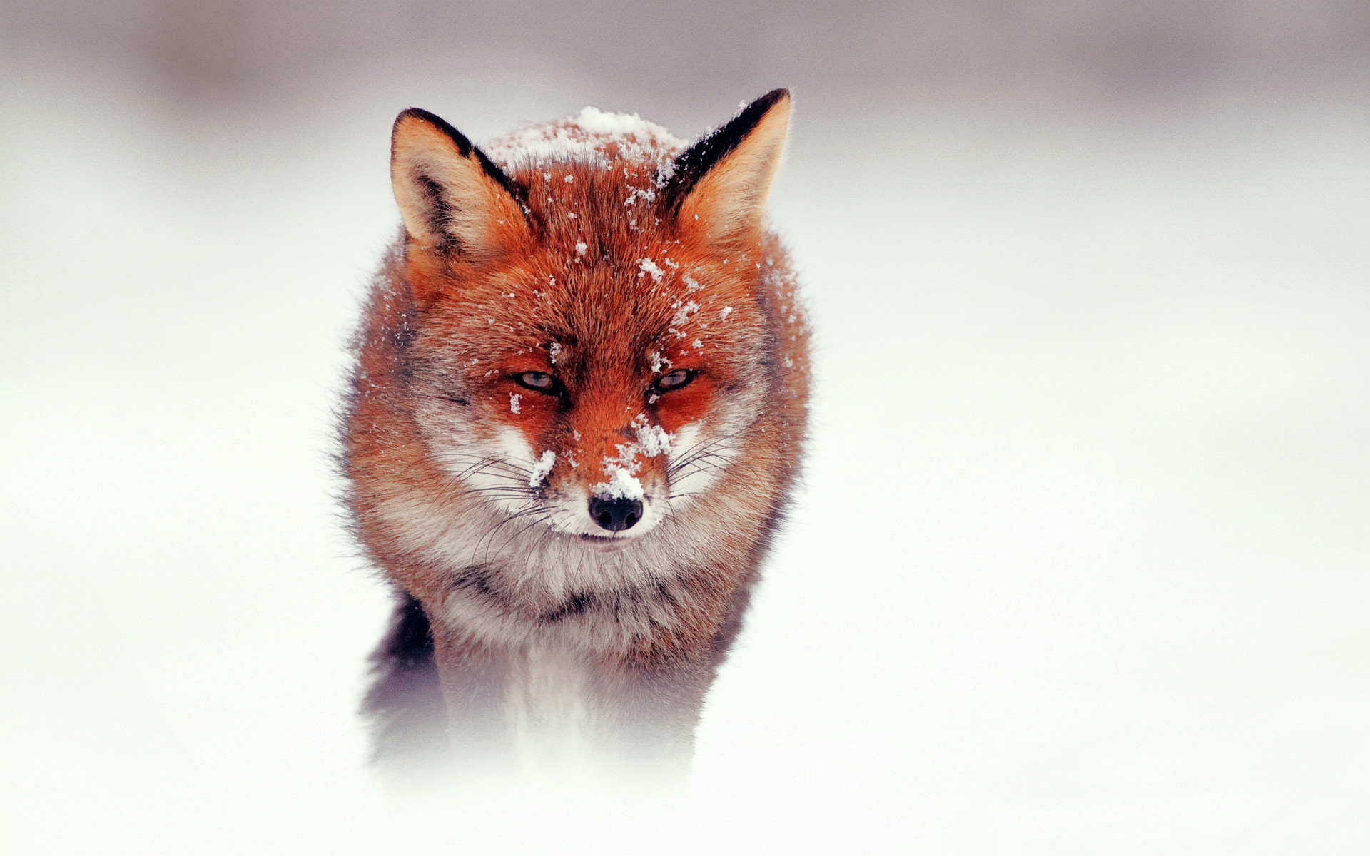 Red Fox Wallpaper Wide