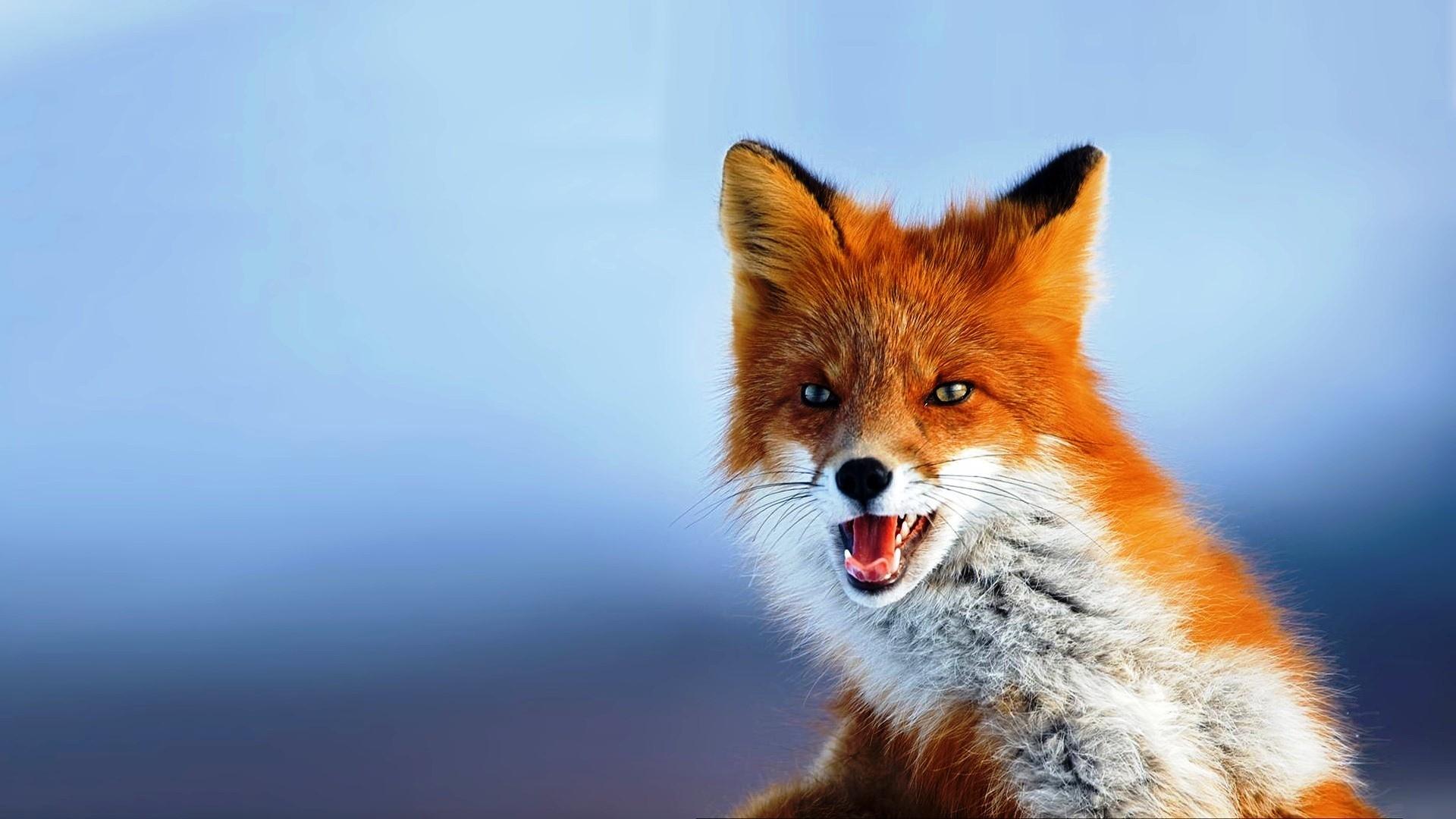 Fox Wallpaper #7 – Resolution:1600*1200