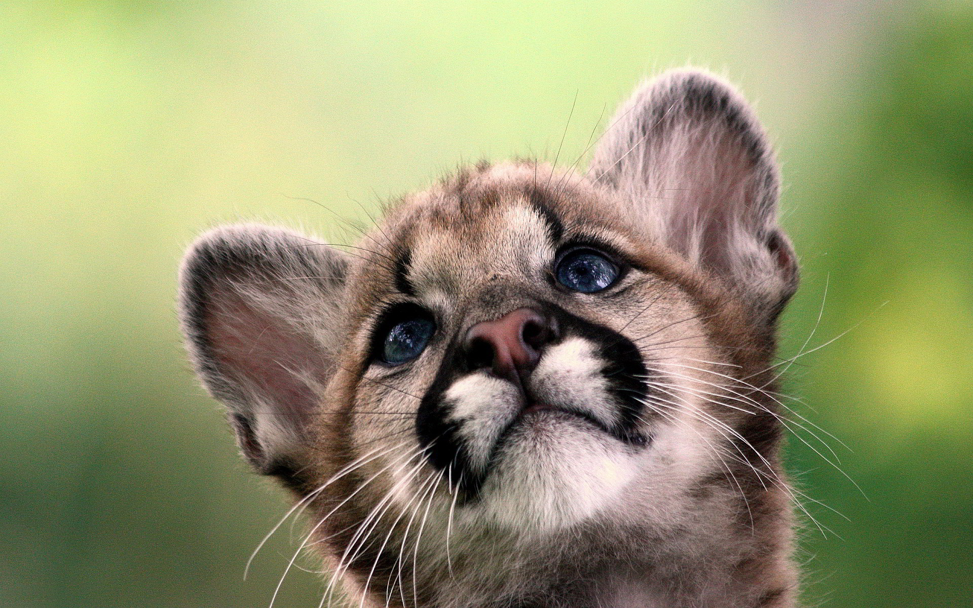 Related Wallpapers from Baby Fox Wallpaper. Cougar baby