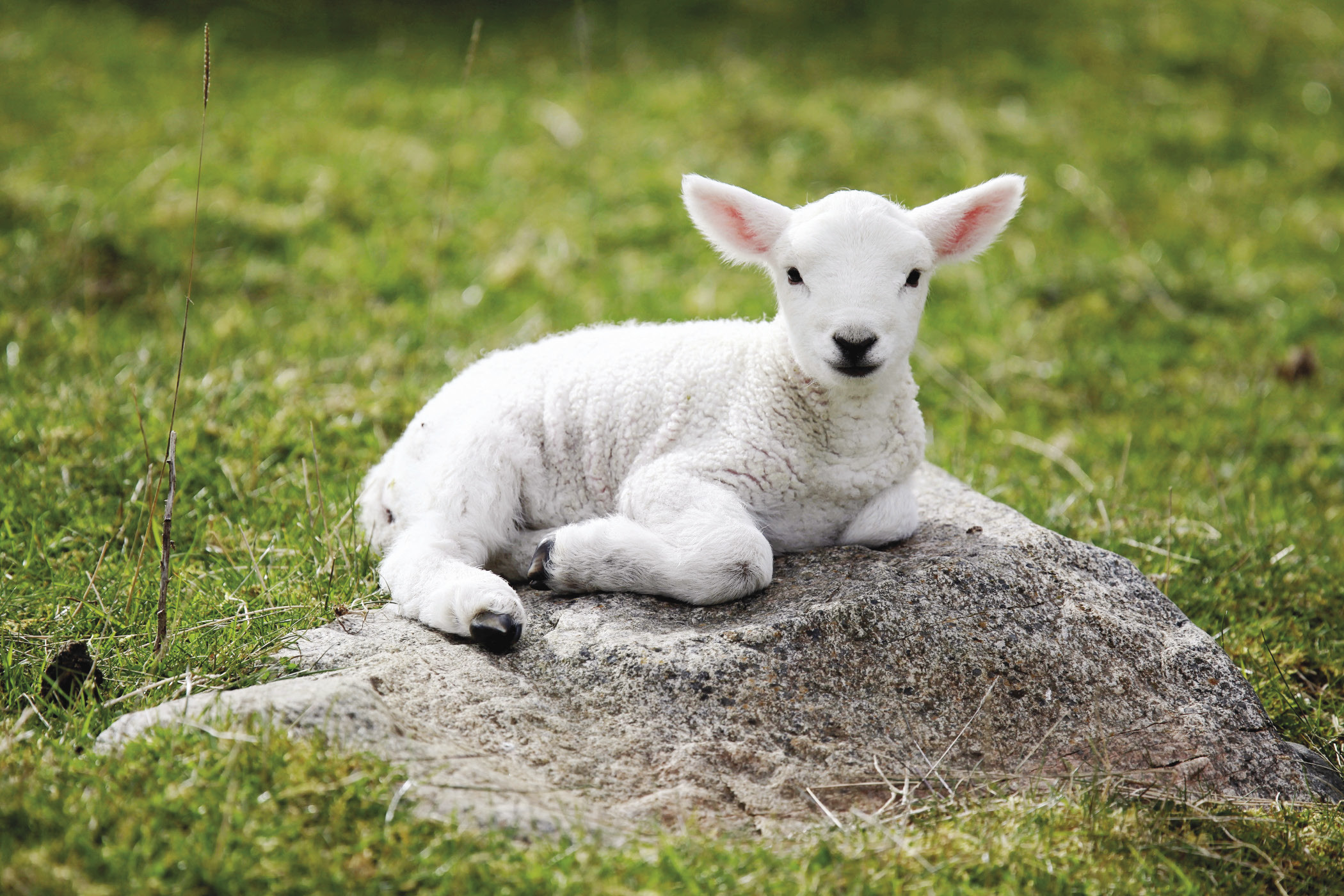 Little baby sheep wallpapers