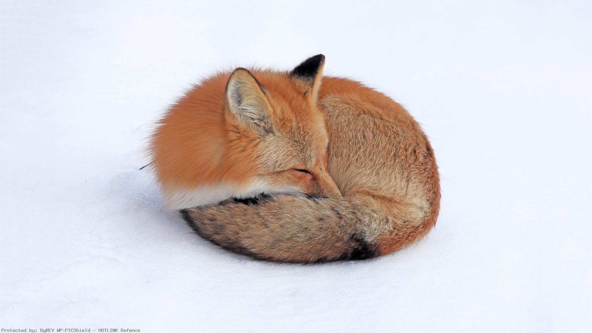 red-fox-sleeping-1920×1080-1920%C3%971080-wallpaper-