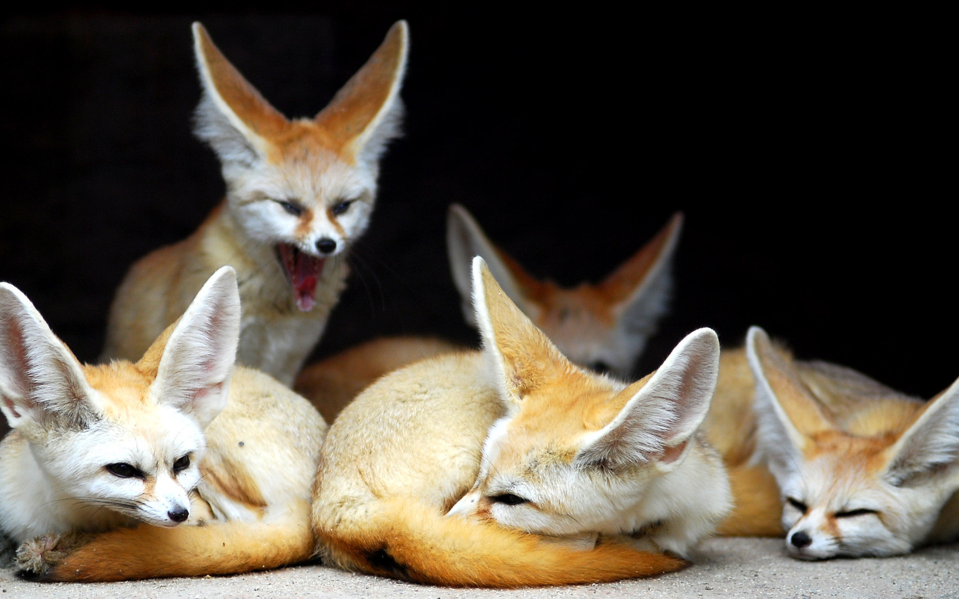 """Search Results for """"baby fennec fox wallpaper"""" – Adorable Wallpapers"""