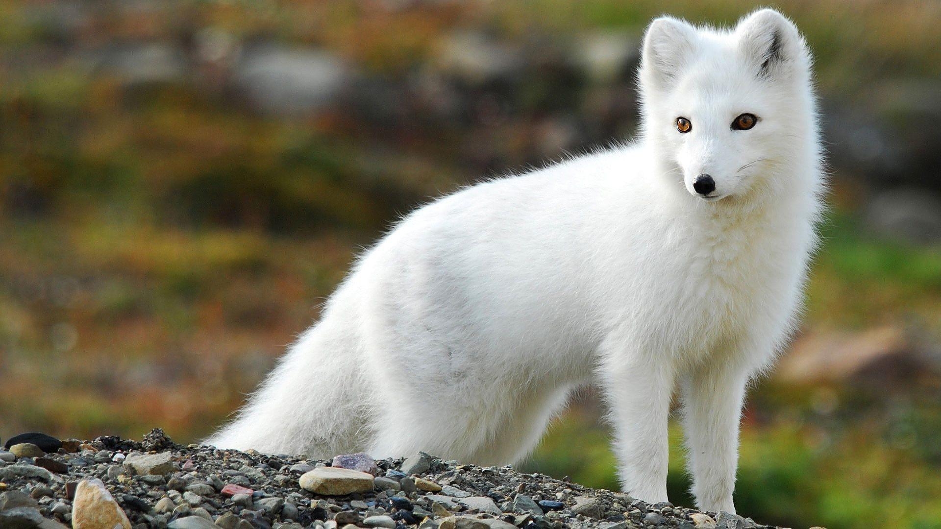 Baby arctic fox wallpaper – photo#18
