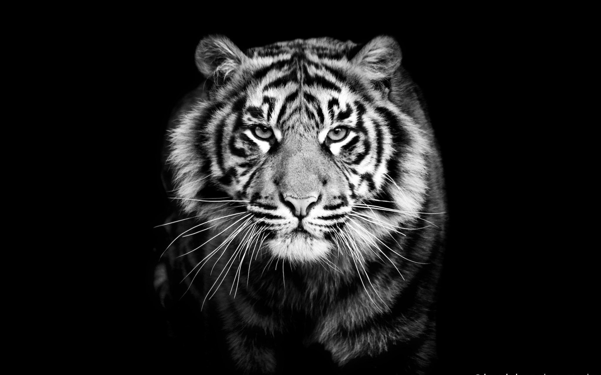 Samsung Galaxy S Wallpapers HD Beautiful black and white tiger 1920×1200