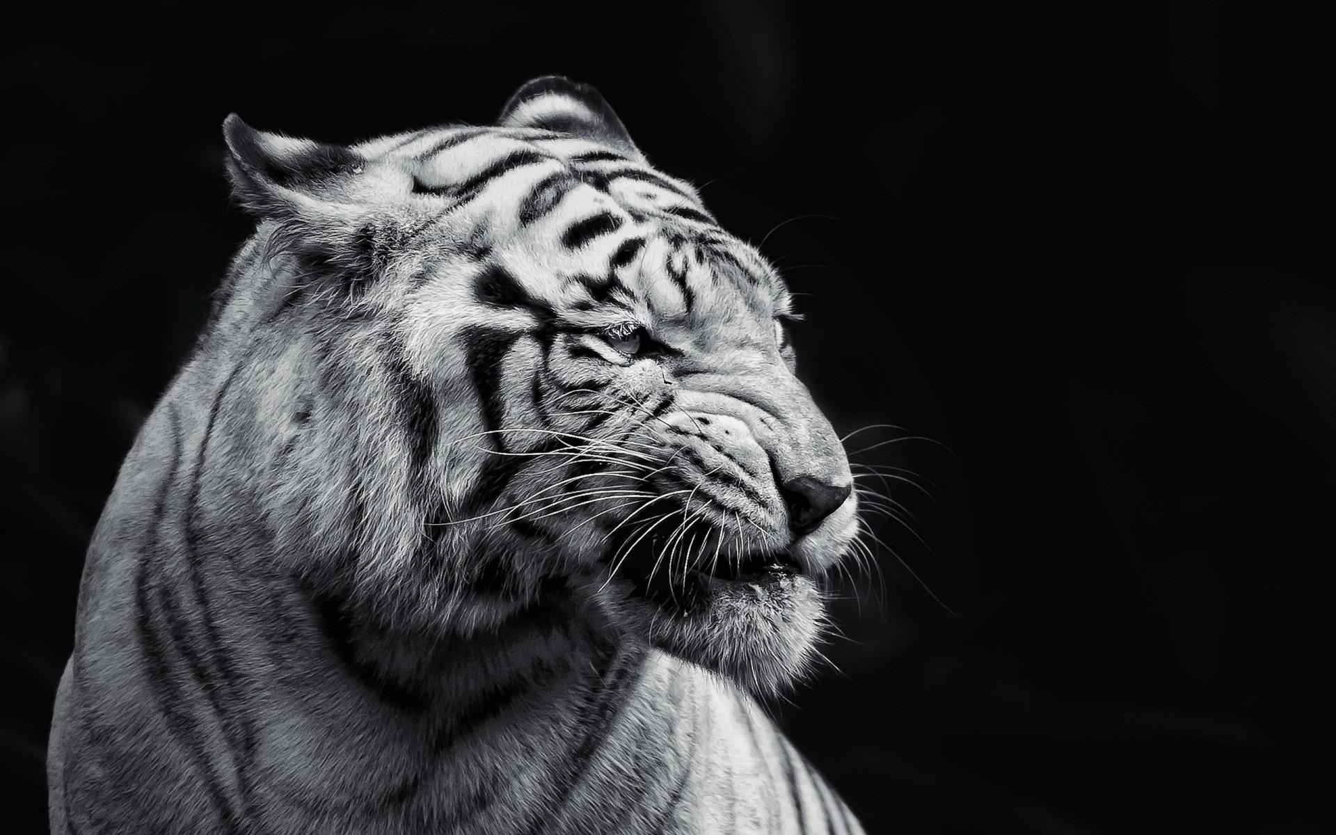 White Tiger Wallpaper 25678