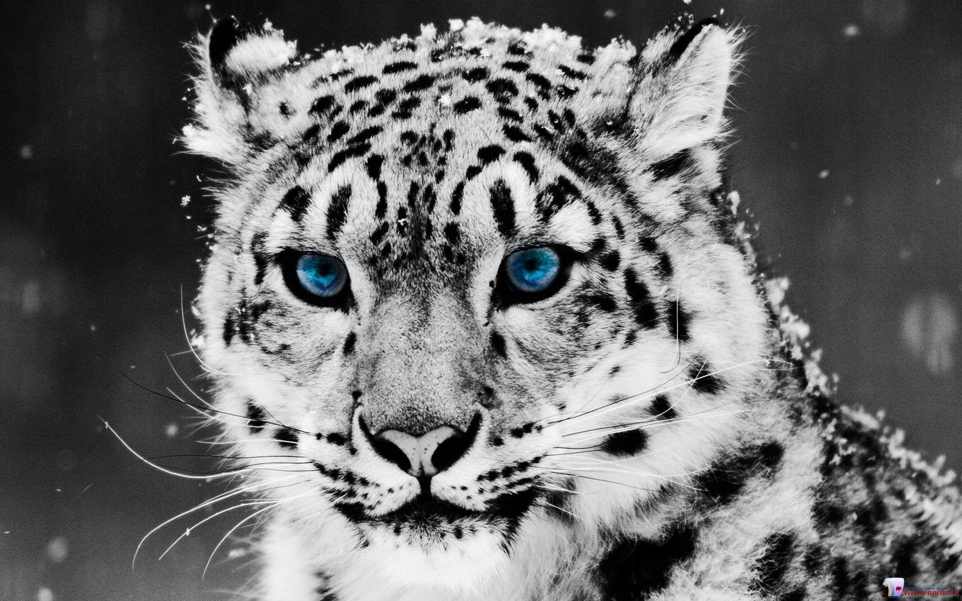 White Tiger HD Wallpapers – HD Wallpapers Inn
