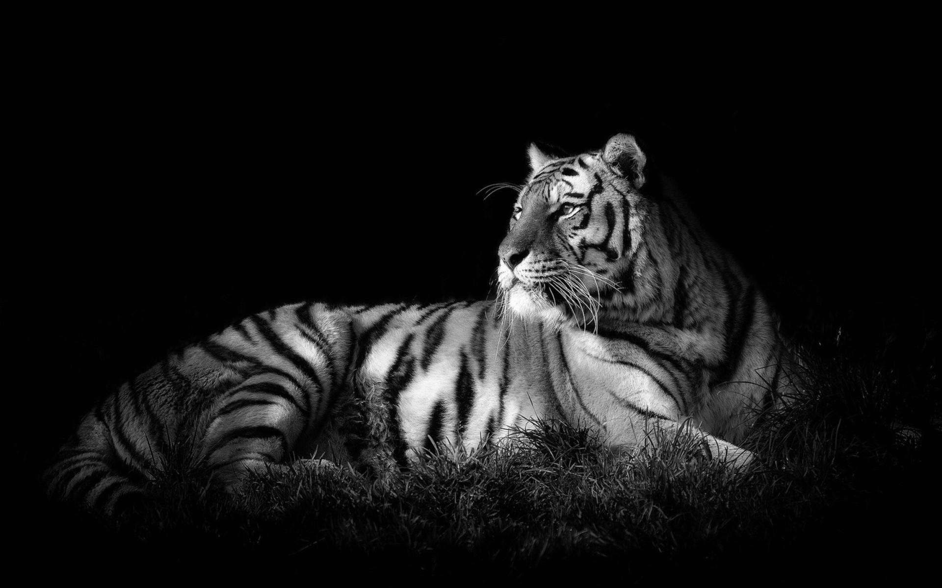Tiger Black & White – Cats Wallpaper ID 1683309 – Desktop Nexus Animals