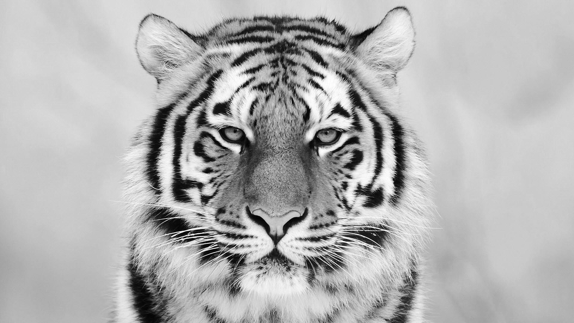 White Tiger Wallpaper Free
