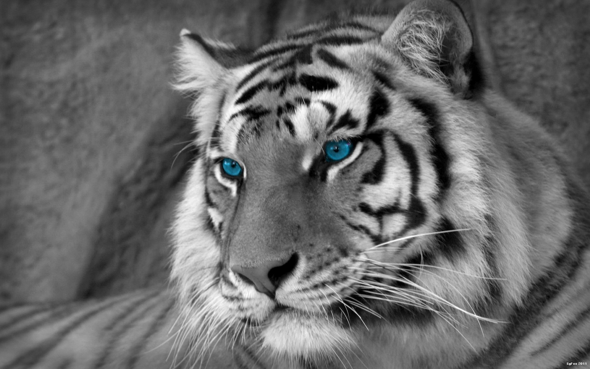white tiger wallpaper hd free download   animals wallpaper