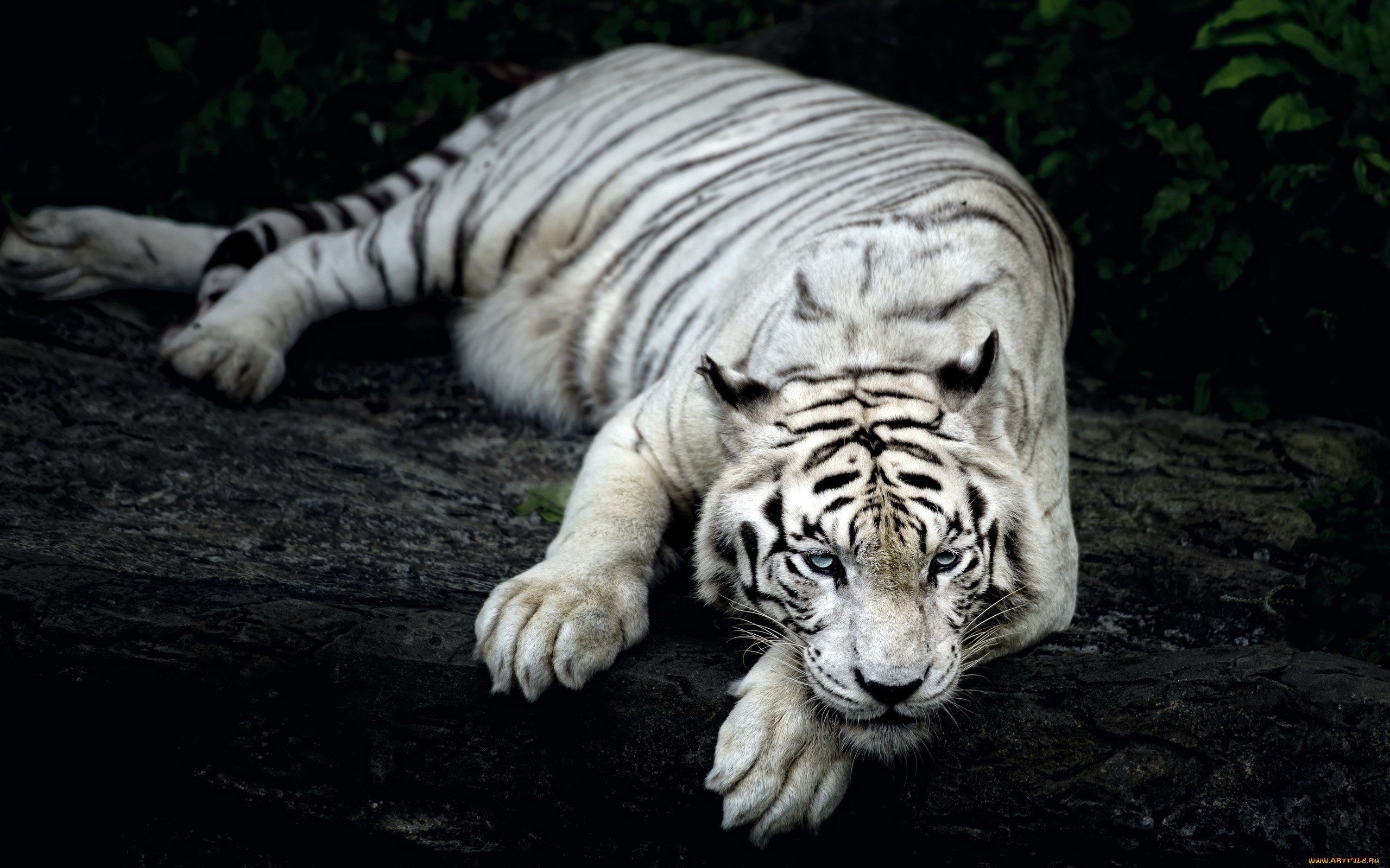 White Tiger Animal