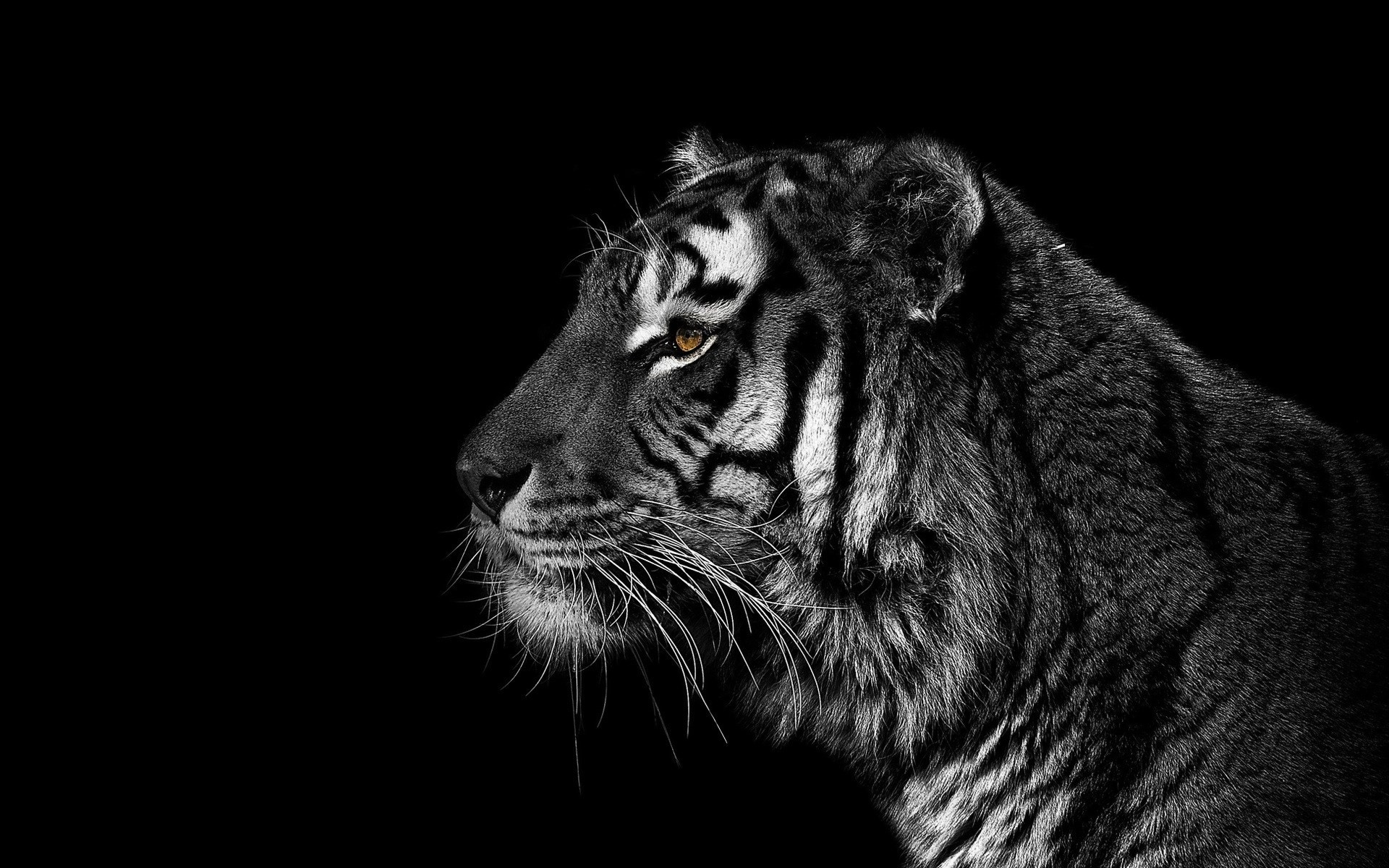 Pretty cool black background Tiger from Christian Meermann