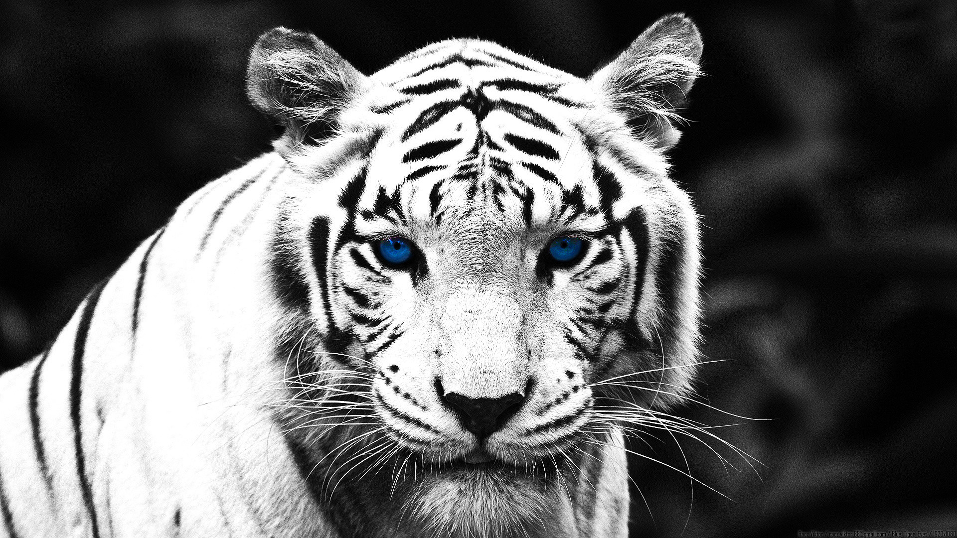 White Tiger Wallpaper Really good wallpapers!
