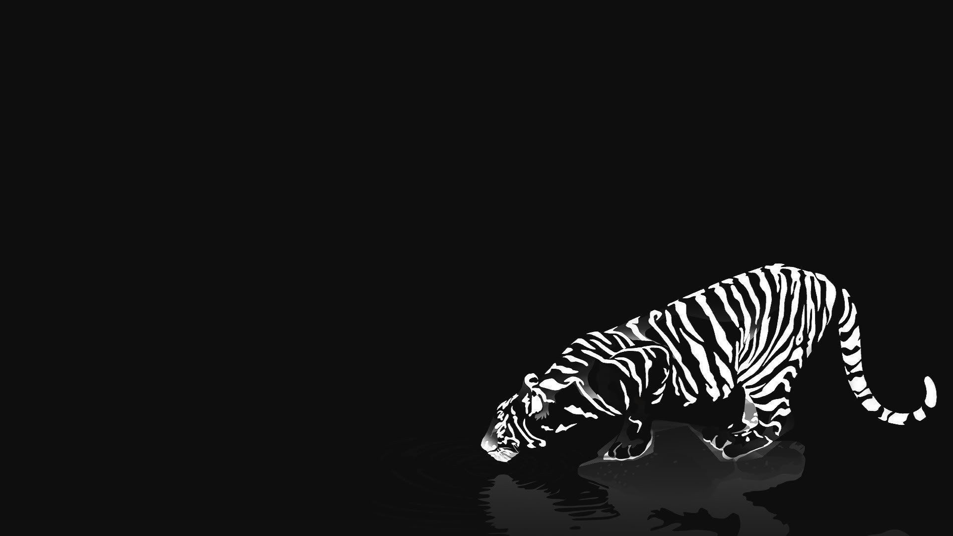 Cats animals tigers white tiger reflections black background .