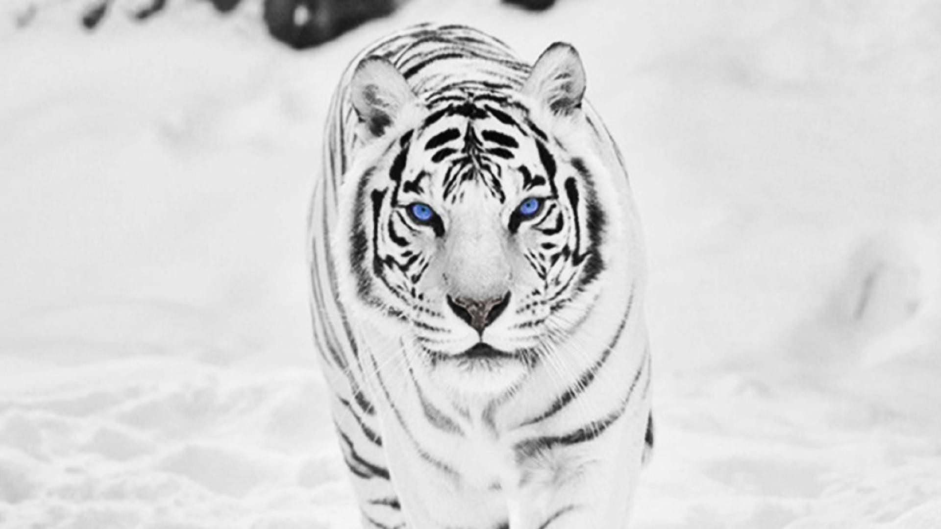White Siberian Tiger Wallpapers Wallpaper Cave