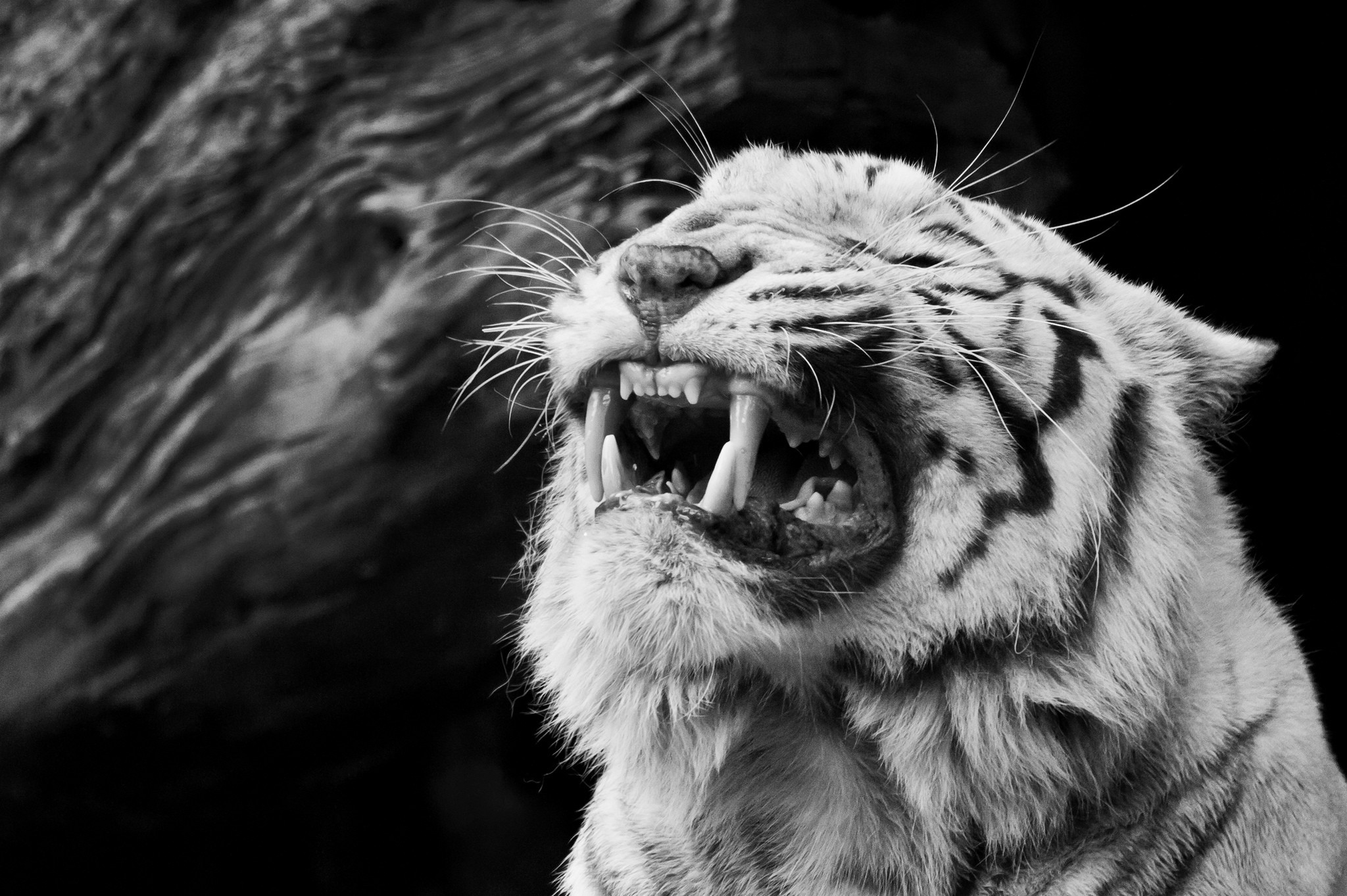 Black and White Tiger Wallpaper Free HD Desktop Wallpapers for Black And White  Tiger Wallpapers Wallpapers)