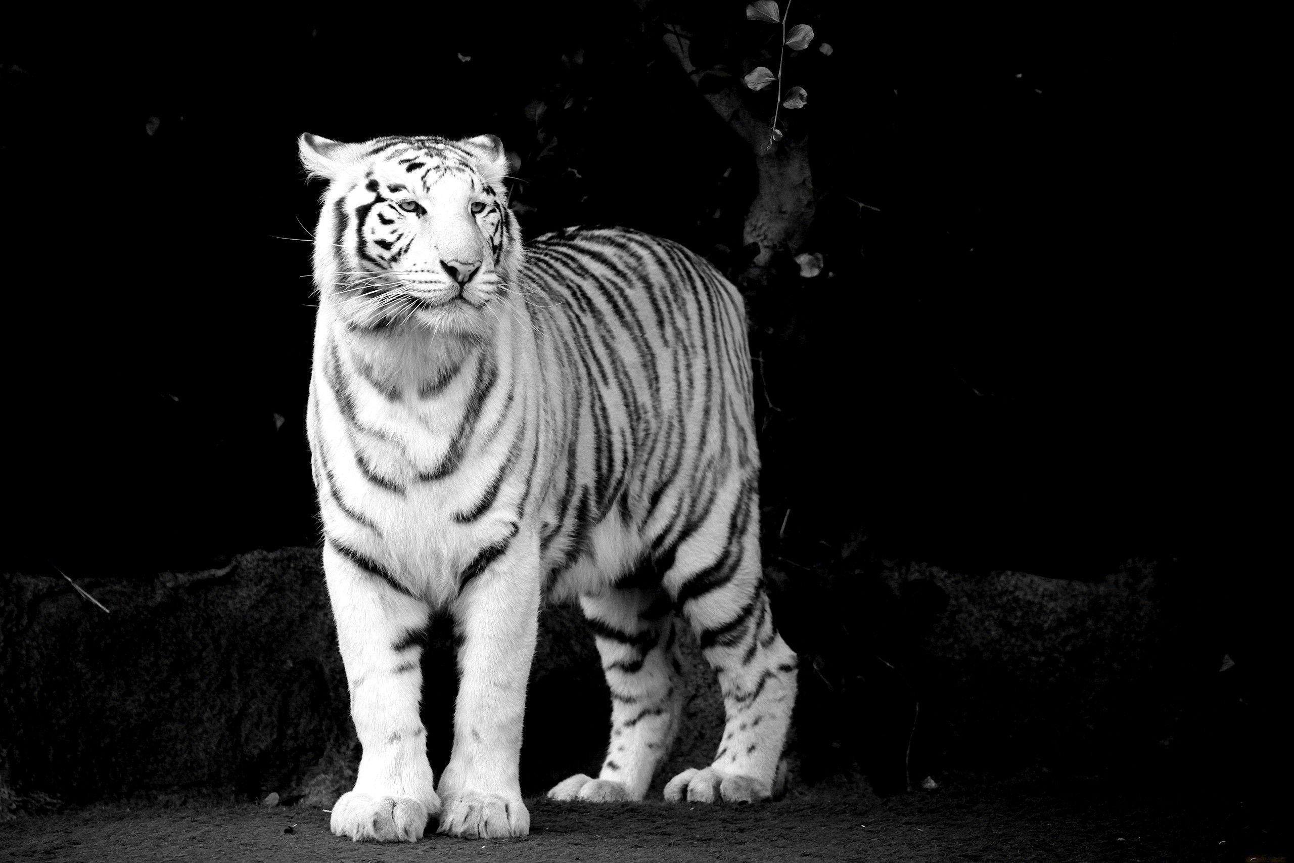 White Tiger Black Background · Tiger Wallpapers | Best Desktop .
