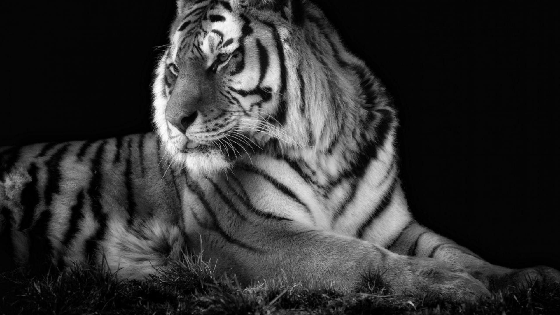 Tigers white tiger wallpaper