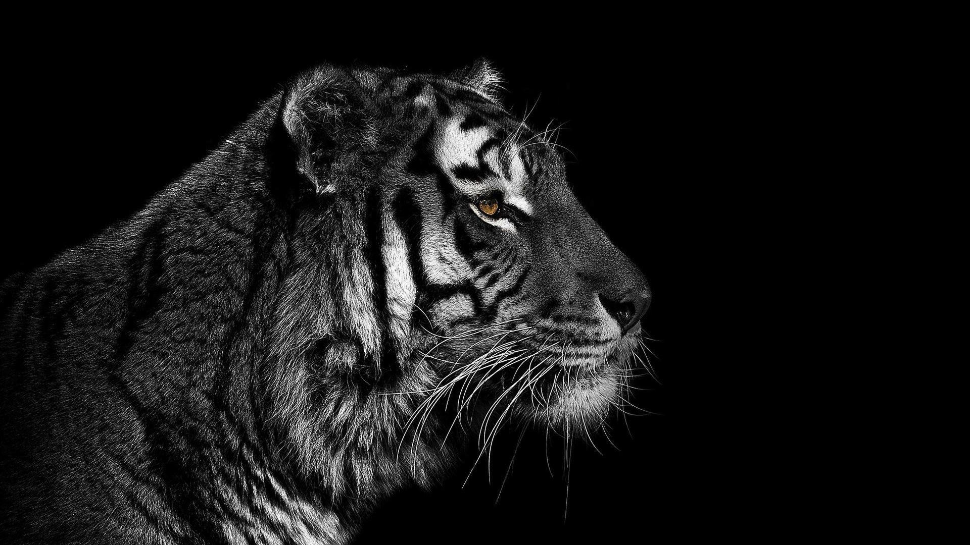 Tiger HD Wallpaper Tiger …