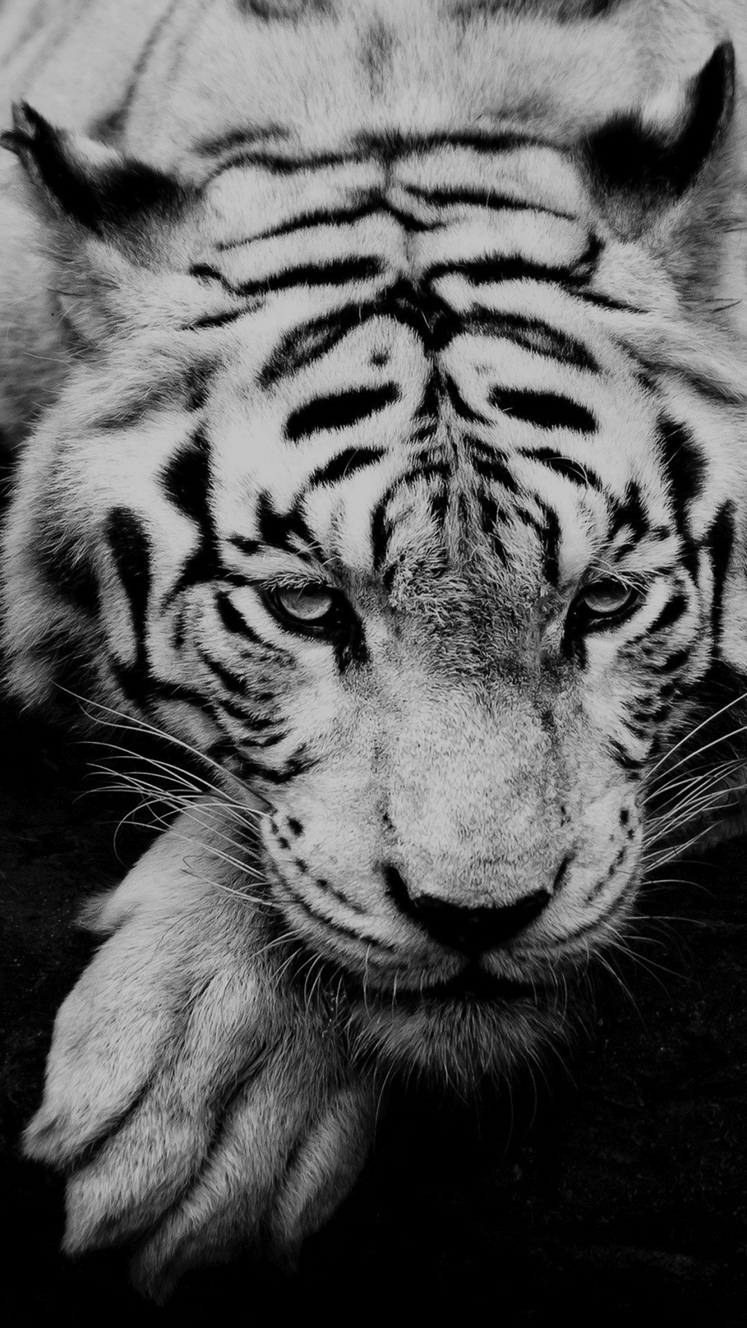 Black And White Tiger Portrait #iPhone #6 #wallpaper