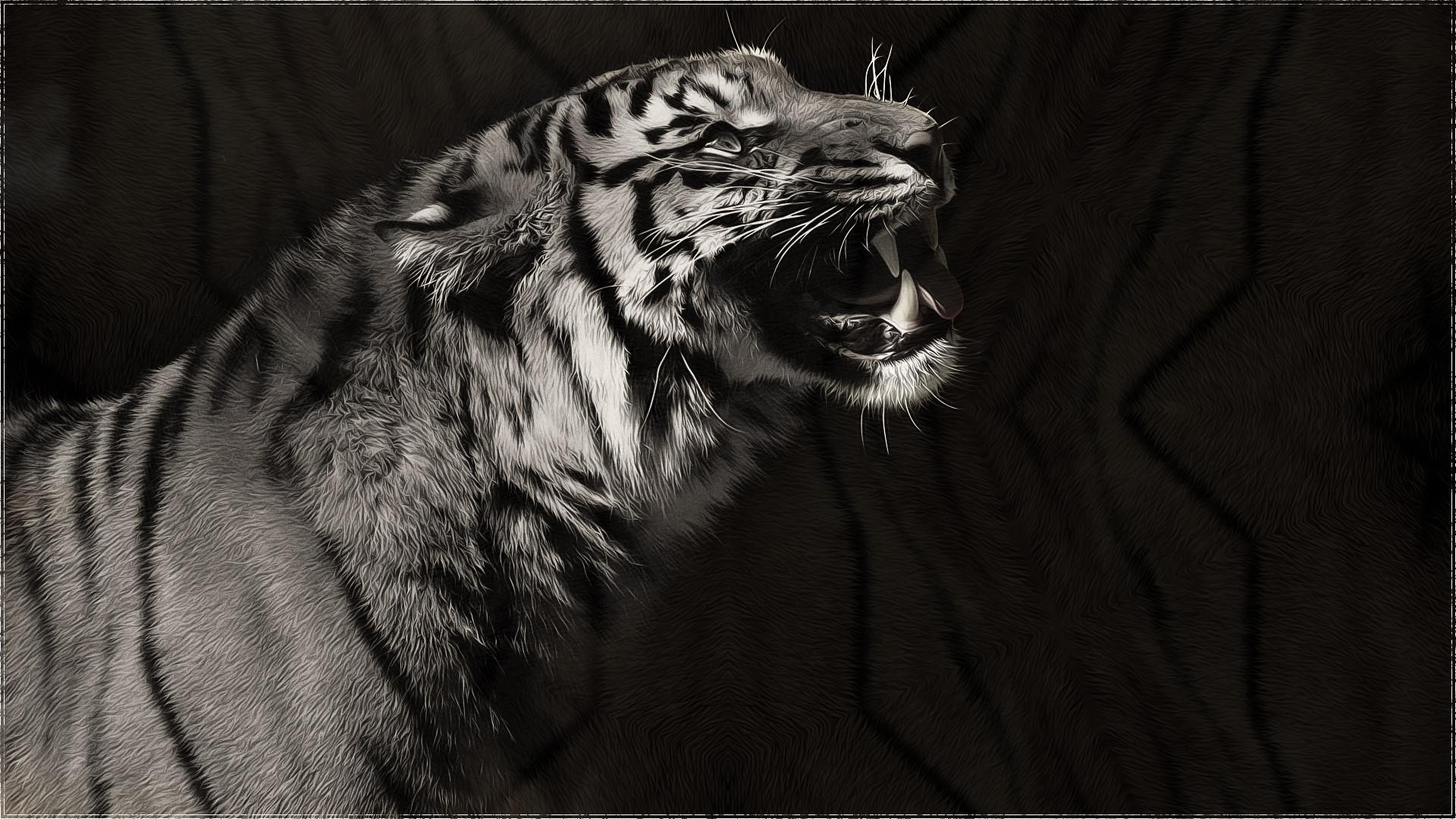 Animal – Tiger White Grey Animal Wallpaper