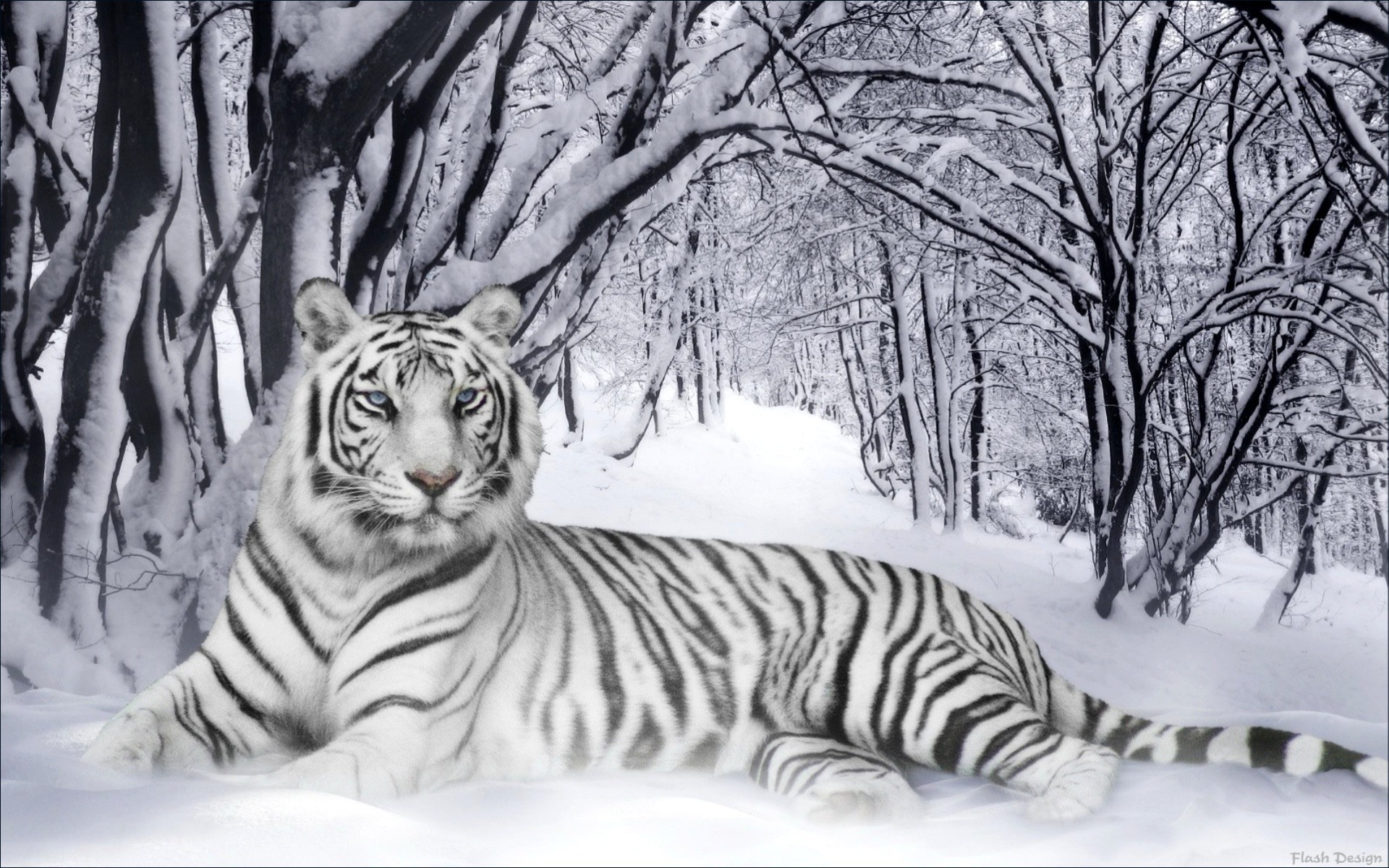 White Tiger HD Wallpapers Backgrounds Wallpaper   HD Wallpapers   Pinterest    Hd wallpaper, Wallpaper and Wallpaper backgrounds