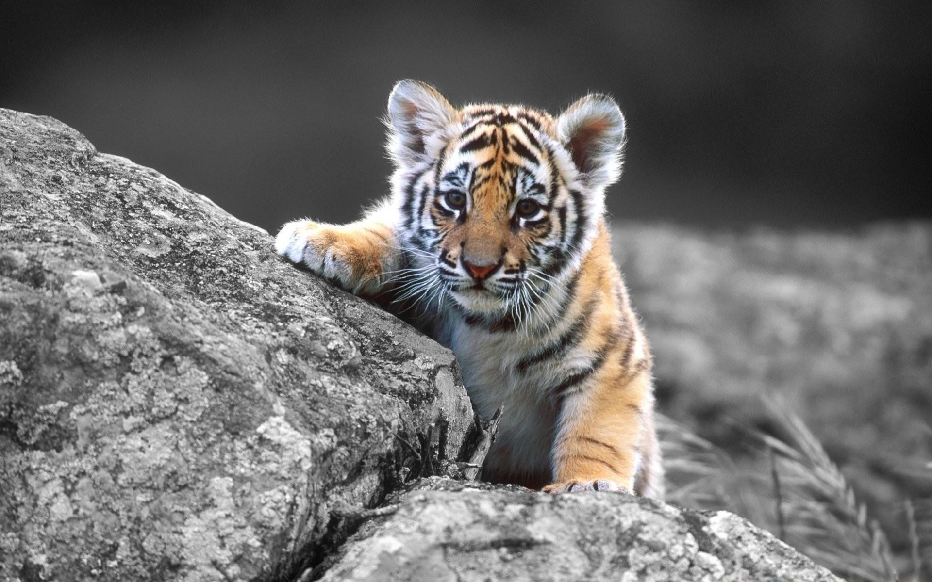 Baby Tiger 561450