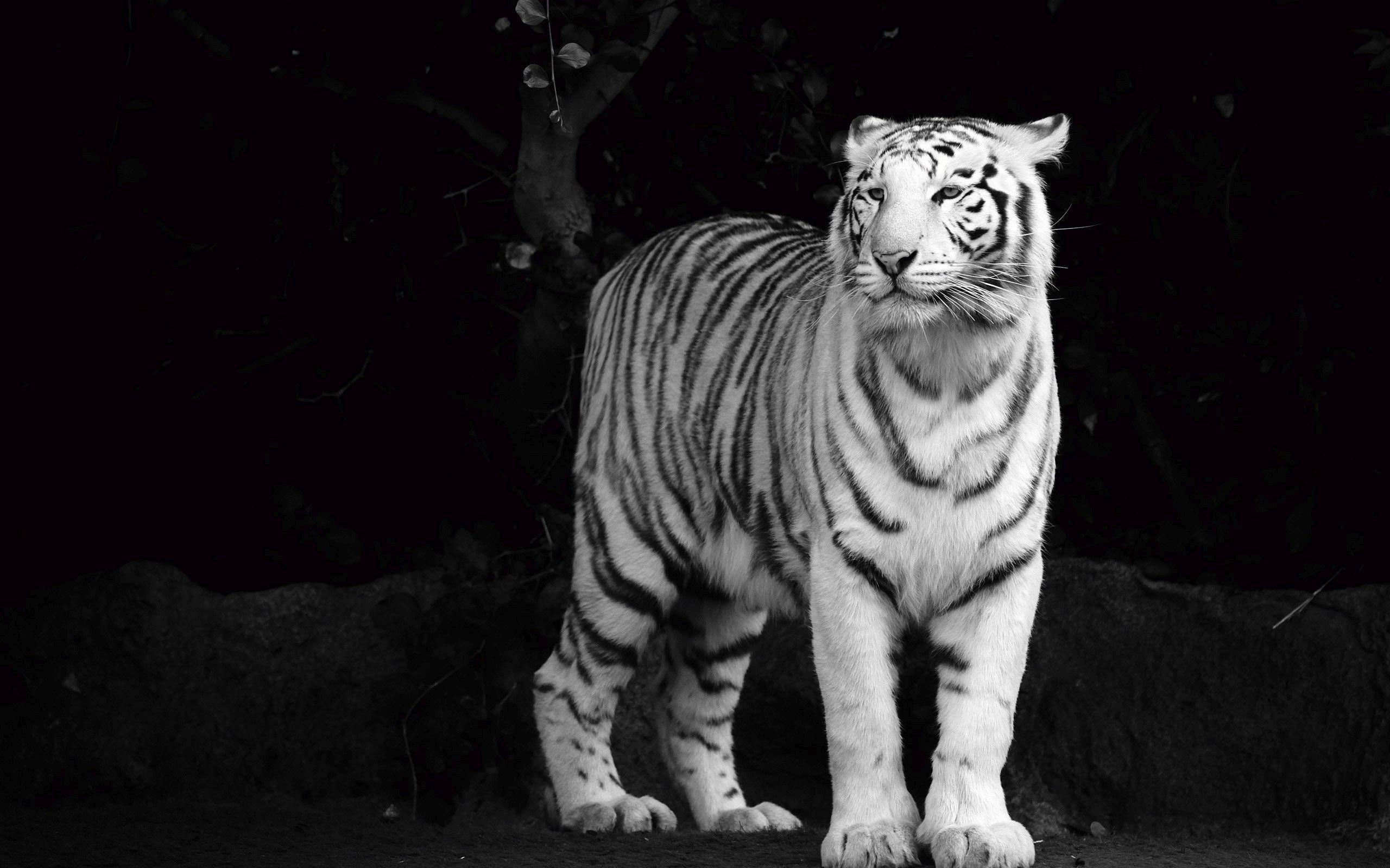 … White Tiger HD Wallpaper 2560×1600