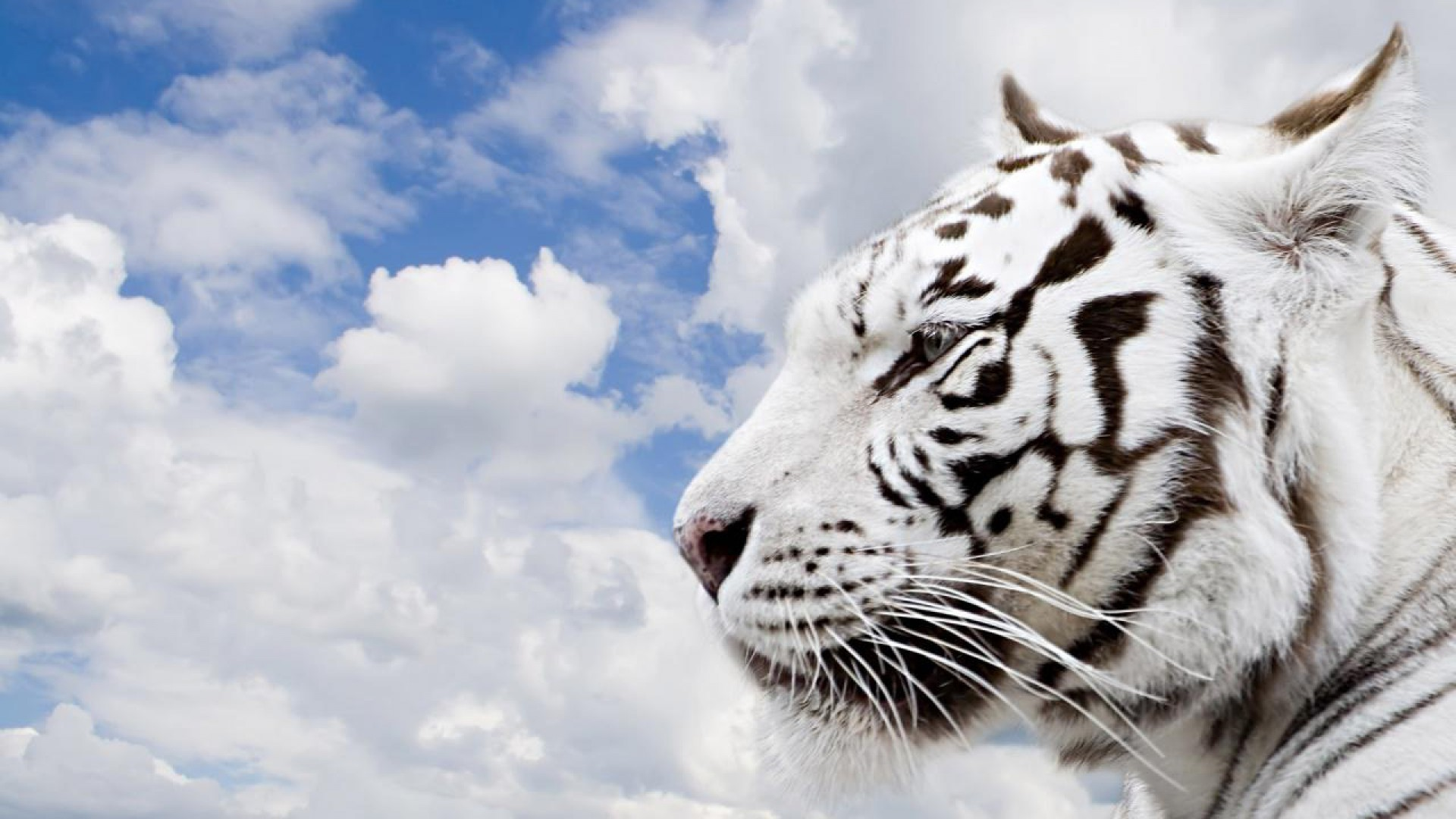 High Resolution White Tiger 1080p Wallpaper Full Size .