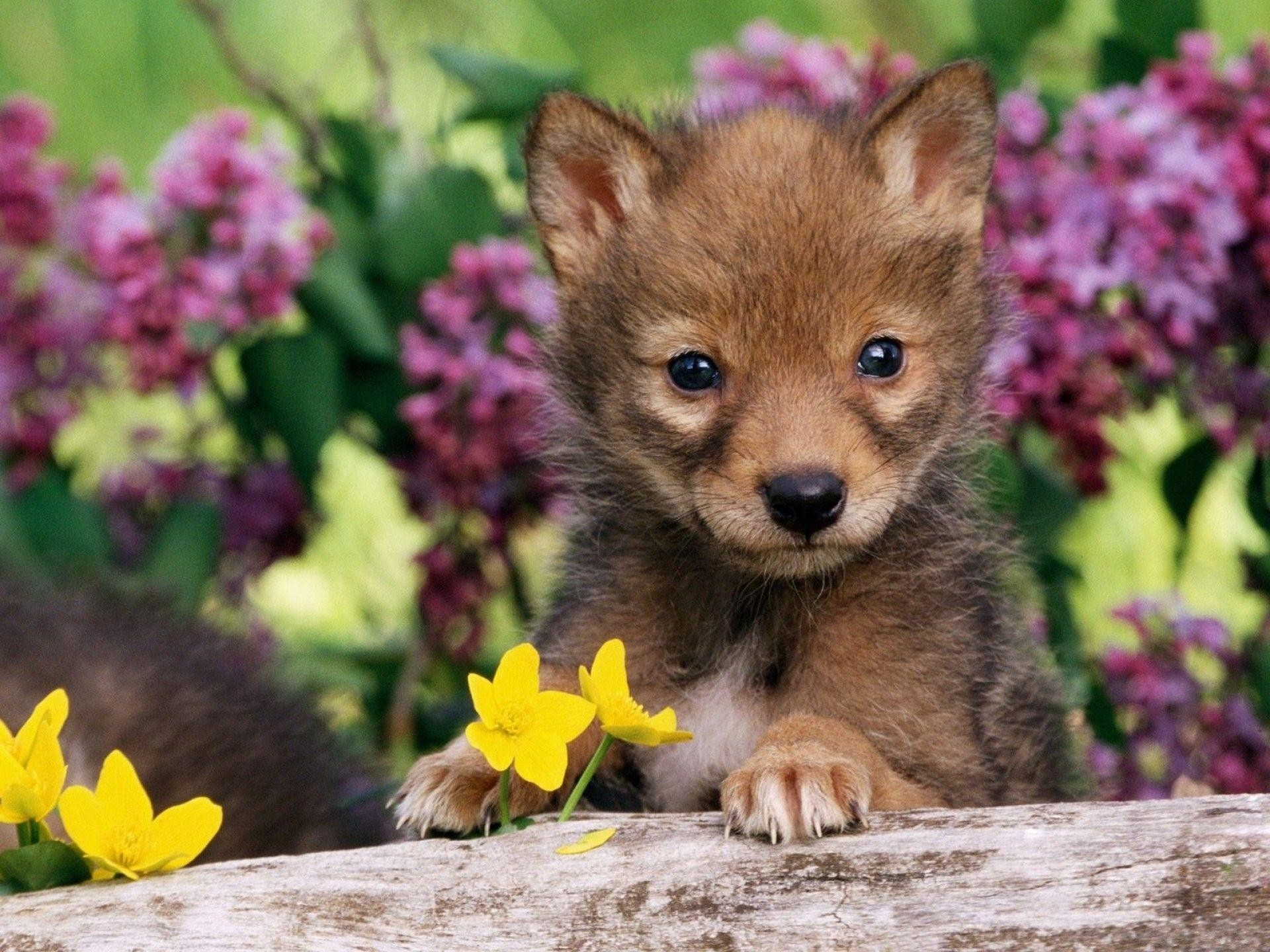 Images For > Cute Baby Wolf Wallpaper