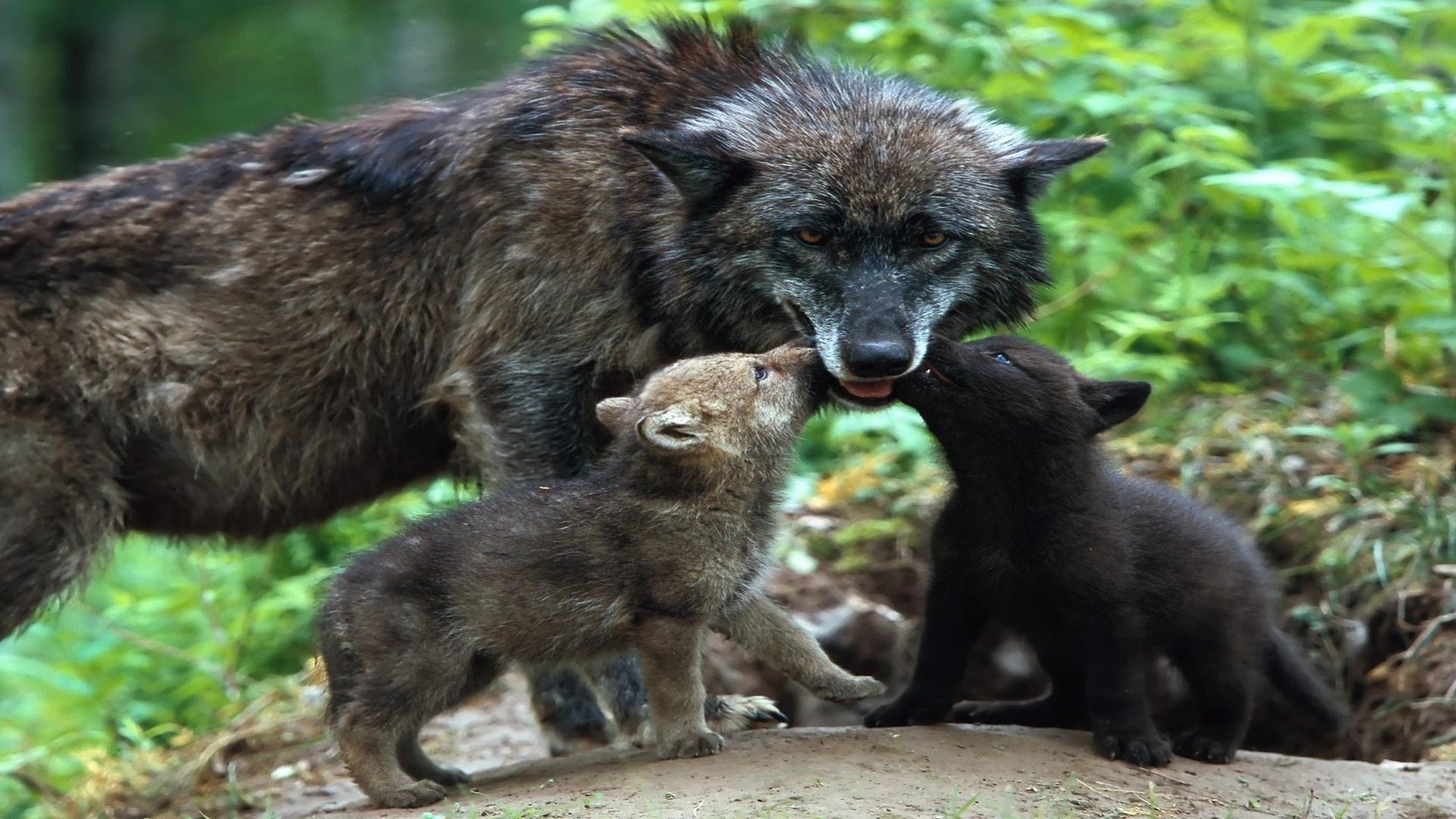 cute baby wolf pics wallpaper