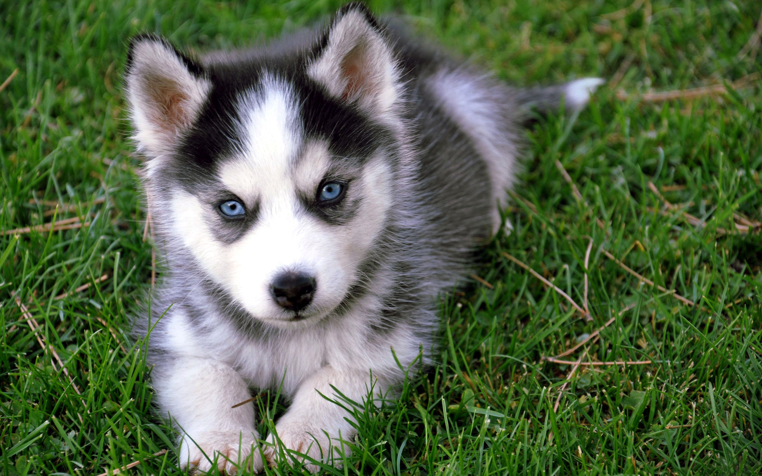 Cute Baby Siberian Husky Wallpaper Background Wallpaper with .