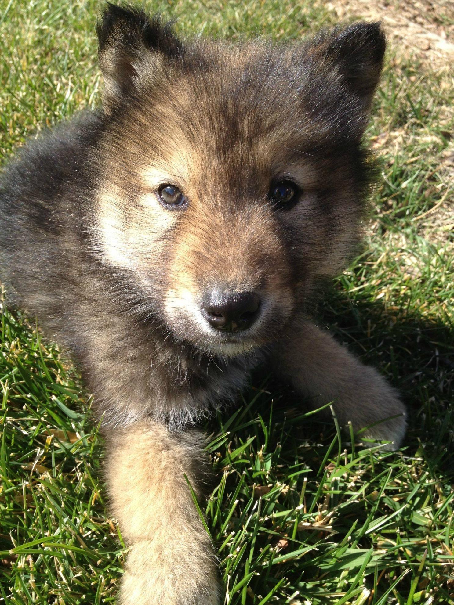 Adorable animals · wolf puppy